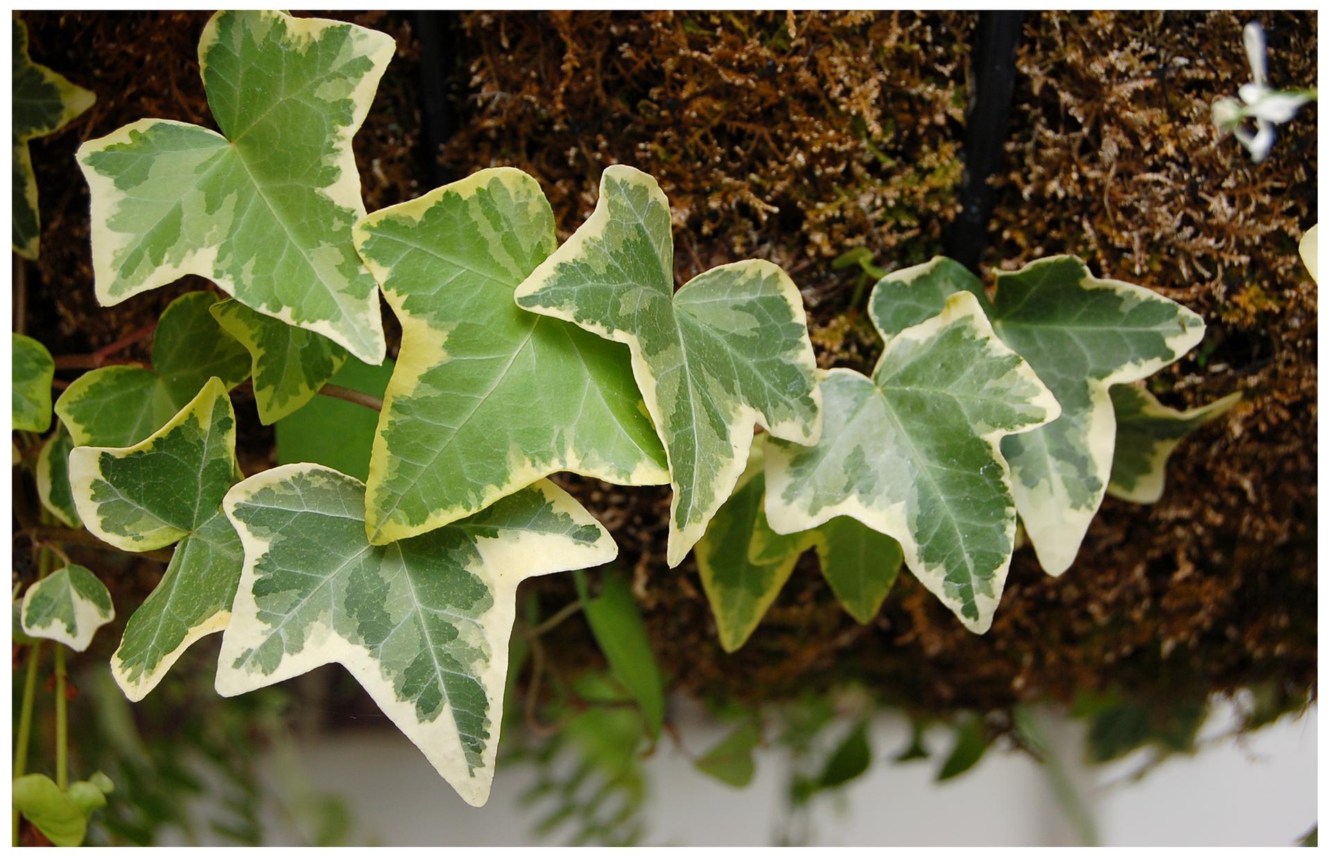 Galeria fotografii trujących roślin: Bluszcz.
