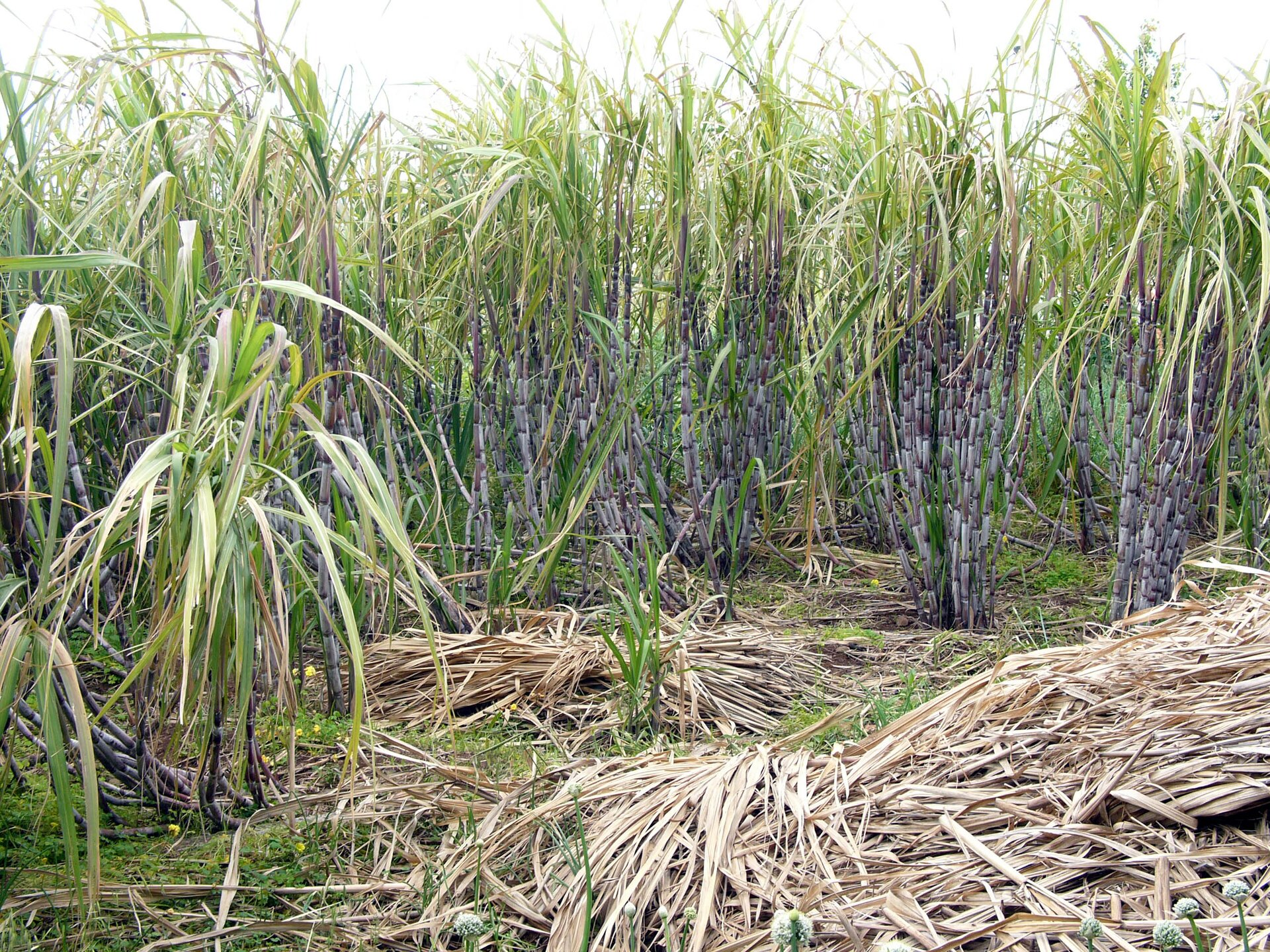 Na zdjęciu plantacja trzciny cukrowej, długie wąskie liście, udołu naga łodyga.