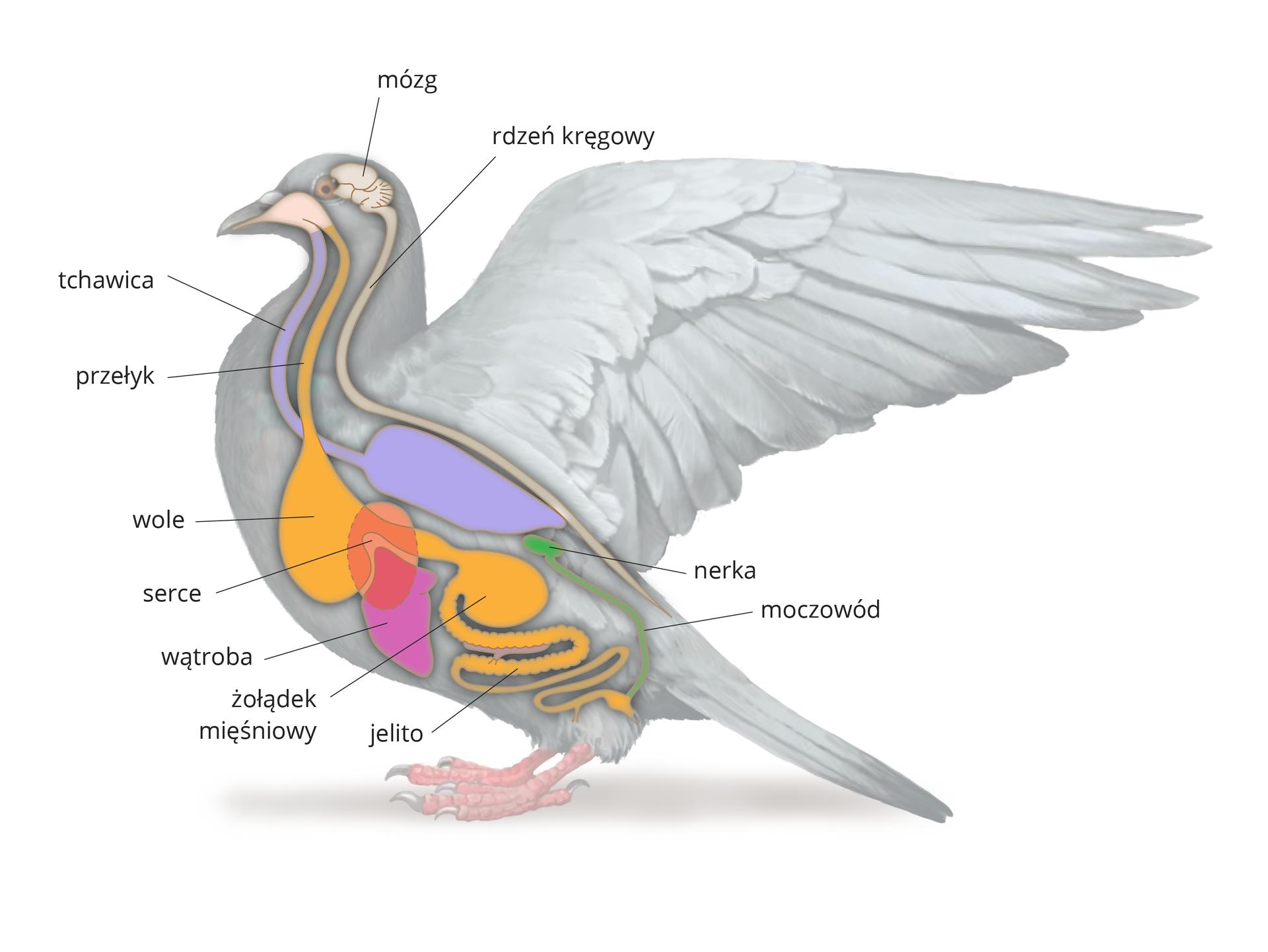 Ilustracja przedstawia szarą sylwetkę gołębia. Wrysowano wnią narządy wewnętrzne, zaznaczone różnymi kolorami. Od góry białawy mózg iwydłużony rdzeń kręgowy. Od dzioba dwa układy. Niebieski oddechowy, czyli tchawica iworkowate płuco. Żółty pokarmowy: przełyk, workowate wole, żołądek mięśniowy, jelito. Na układ pokarmowy nałożona liliowa wątroba iróżowe serce. Ztyłu zielona nerka imoczowód.