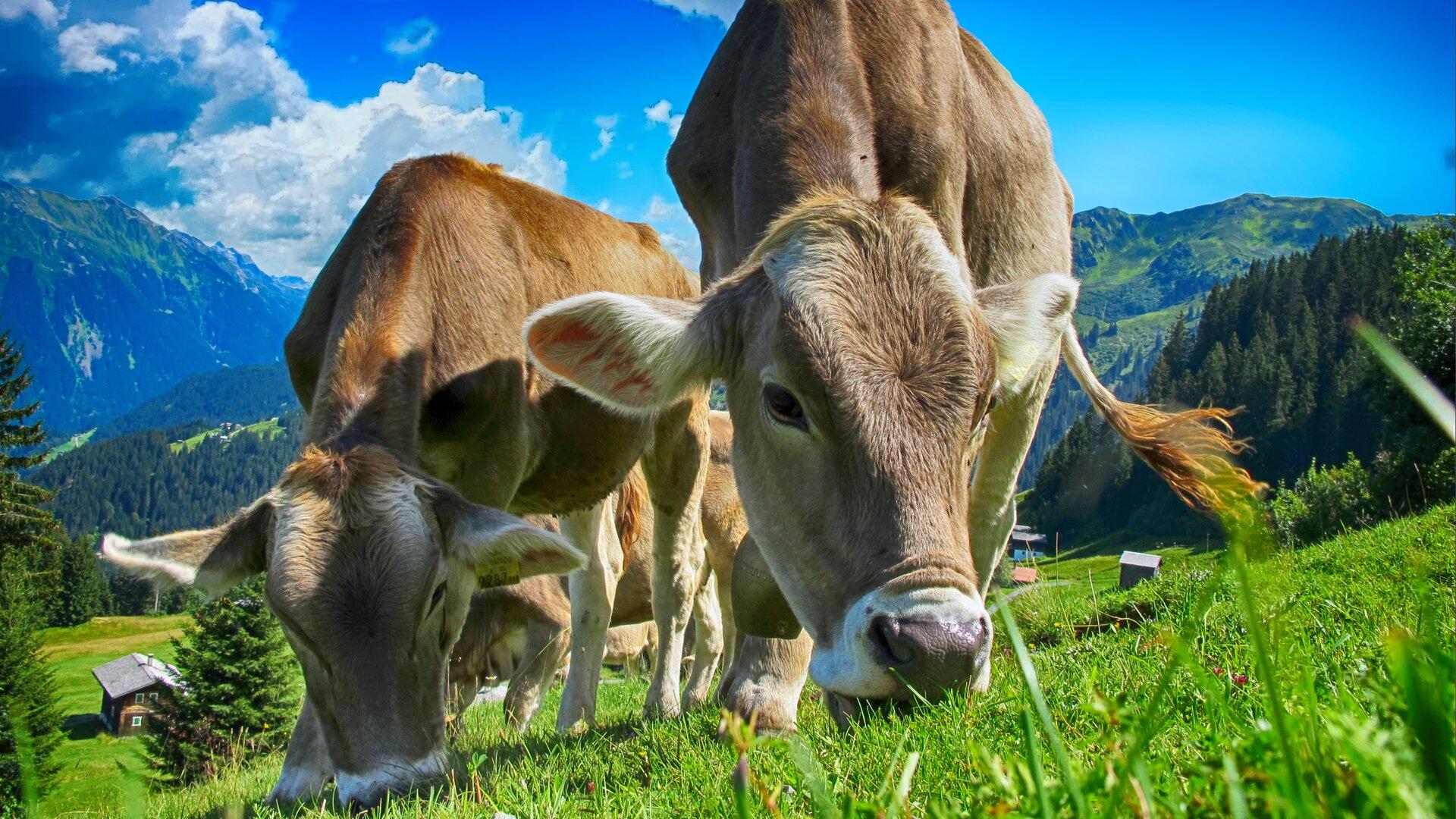 Ilustracja przedstawia trzy krowy – dwie znajdujące się na pierwszym planie ijedną stojącą za nimi. Krowy mają jasnobrązowy kolor sierści. Krowy pasą się na zielonej łące, znajdującej się na wzniesieniu. Za nimi rozpościera się malowniczy widok na góry. Jest piękny, słoneczny dzień.