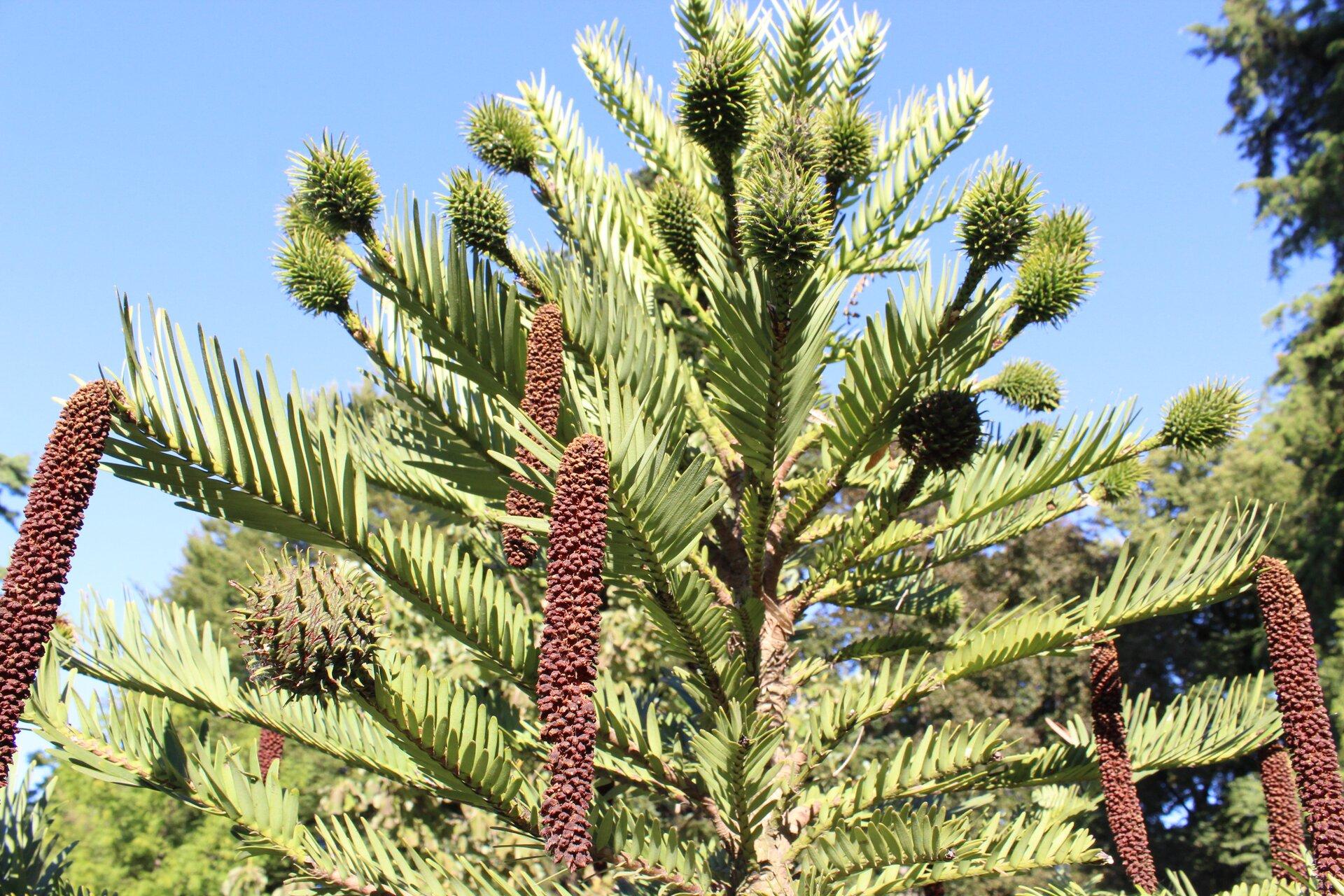Fotografia przedstawia australijską roślinę iglastą wollemię. Ma płaskie, duże igły. Na końcach niektórych gałązek zwisają podłużne, brązowe twory. Na innych wznoszą się kuliste, iglaste zgrubienia.