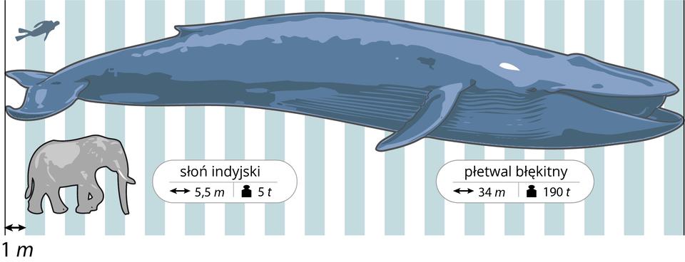 Ilustracja przedstawia na tle biało – błękitnych pasów trzy sylwetki wcelu porównania ich wielkości. Każdy pas ma szerokość jednego metra. Na środku poziomo wielki, wydłużony płetwal błękitny. Pod nim podpis istrzałki, oznaczające długość 34 metry, czarny odważnik oznacza wagę 190 ton. Wlewym górnym rogu granatowa sylwetka nurka, ukosem. Wlewym dolnym rogu szara sylwetka słonia indyjskiego. Przy nim strzałki oznaczają długość pięć ipół metra, odważnik wagę 5 ton.