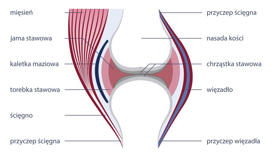 Ilustracja przedstawia schemat budowy stawu, czyli miejsca wktórym łączą się ze sobą dwie kości, zzaznaczonymi wszystkimi elementami kluczowymi skręceń. Punkty bezpośredniego styku kości to chrząstki stawowe wjamie stawowej, czyli przestrzeni obejmowanej przez torebkę stawową. Ruchome połączenia między stawami wzmacniają podłużne pasma tkanek, czyli więzadła, aza ruch odpowiadają ścięgna..
