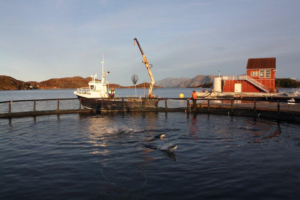 Na zdjęciu farma rybna. Na otwartym morzu ogrodzono fragment akwenu. Na powierzchni wody wyskakujące ryby. Za ogrodzeniem statek rybacki izabudowania. Na pomoście ludzie.