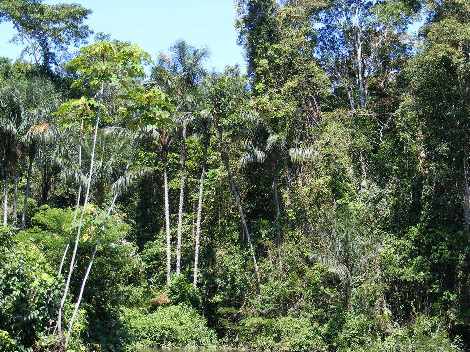 Na zdjęciu las tropikalny. Widoczne piętra lasu. Duże zróżnicowanie gatunków. Drzewa liściaste, palmy ipnącza.