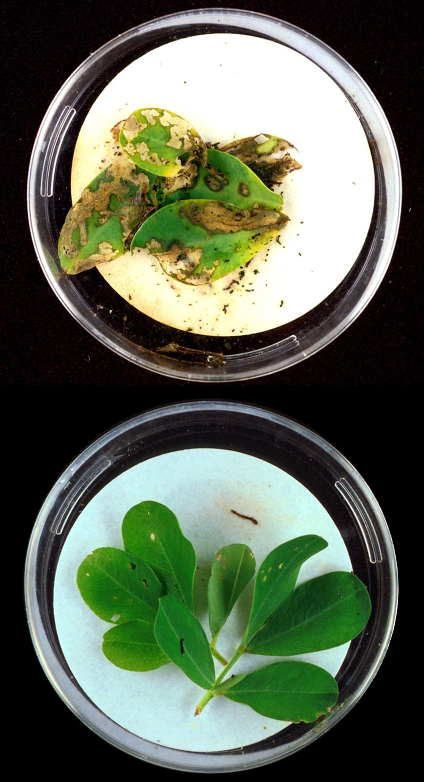 Fotografia przedstawia na czarnym tle dwa naczynia zzielonymi roślinami. Roślina ugóry ma liście częściowo pożółkłe, zniszczone przez owady. Roślina udołu ma liście nie uszkodzone, gdyż do jej genomu wprowadzono toksyny BT, chroniące przed owadami.