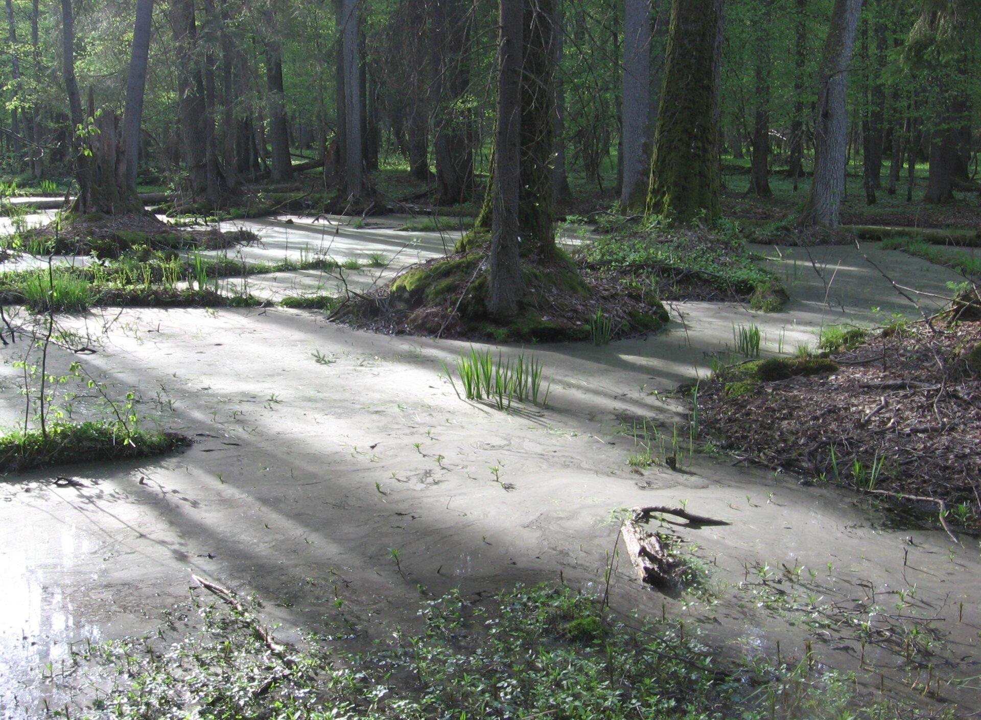 Na zdjęciu las liściasty porastający bagienne siedliska, wysoki poziom wody stojącej. Na kępach wokół szyi korzeniowej drzew drobne rośliny, zwody wystają kępy roślin bagiennych.