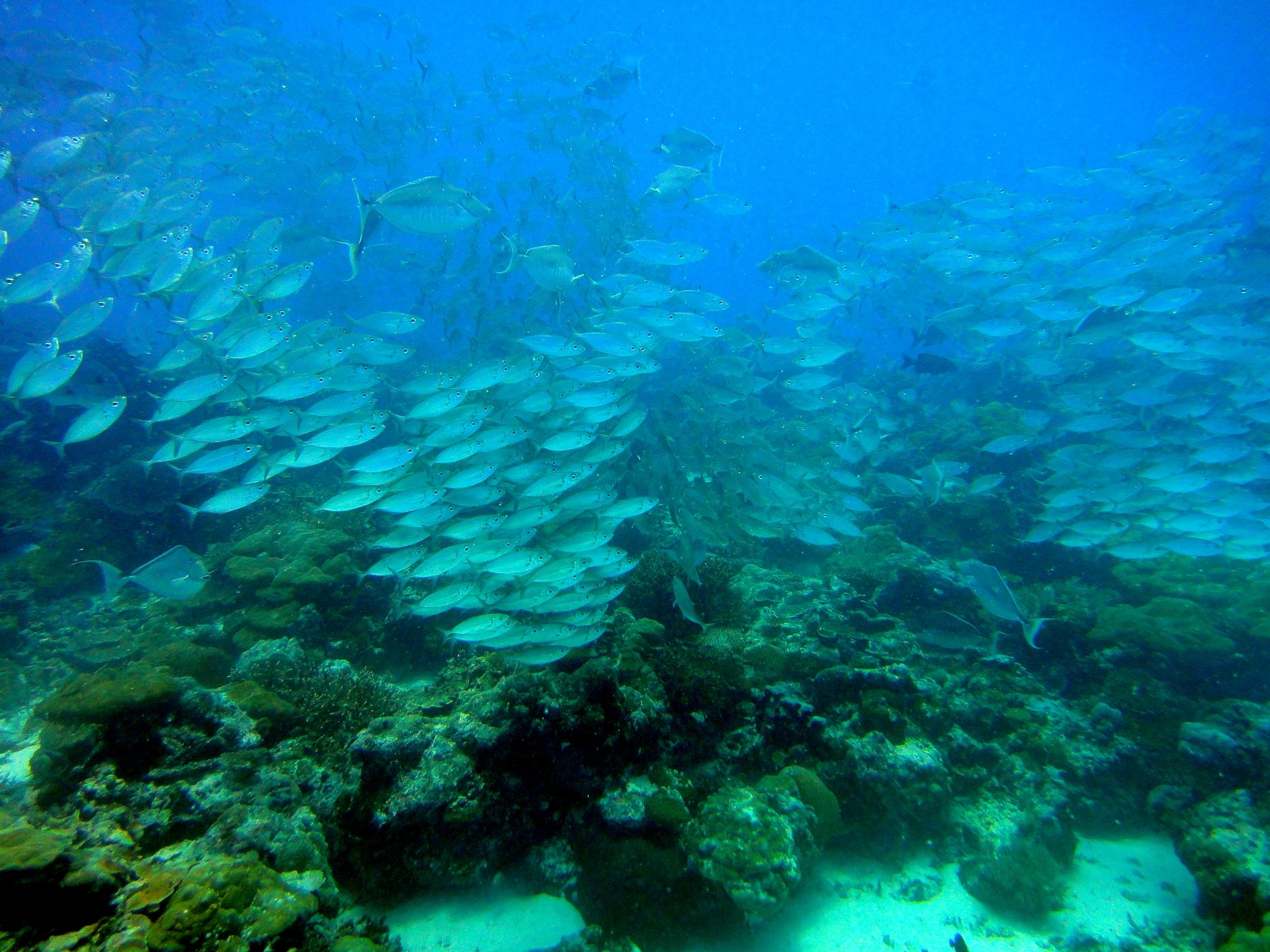 Fotografia przedstawia toń morską idno, porośnięte zielonymi glonami. Nad nimi kilkadziesiąt jasnych ryb, wgrupach, wktórych wszystkie płyną wtę samą stronę. Takie skupisko ryb to ławica, apojedyncze ryby reagują błyskawicznie iwten sam sposób, jakby były jednym organizmem.