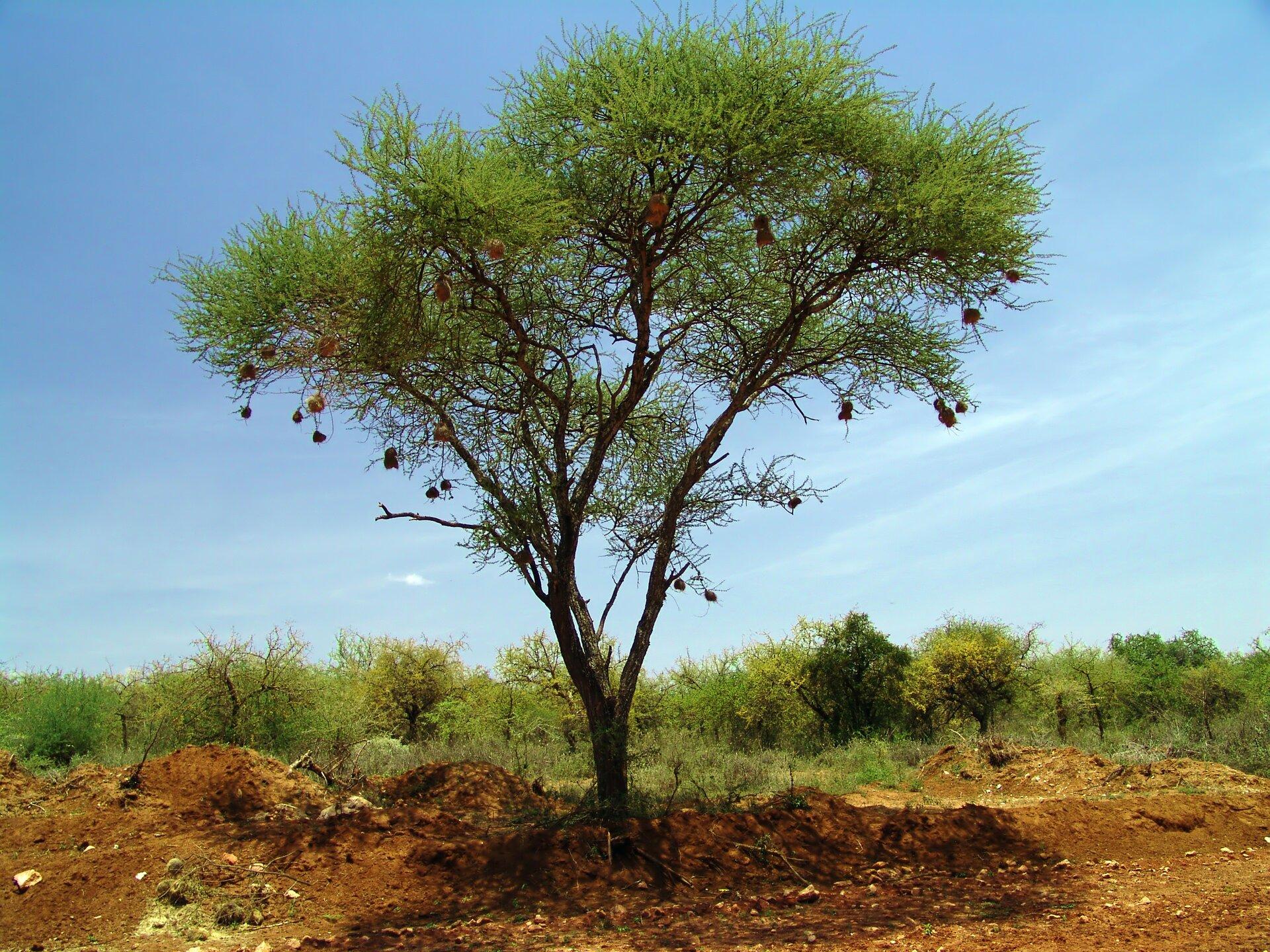 Fotografia przedstawia pojedyncze drzewo akacji. Rośnie na brązowej ziemi, za nim szereg innych drzew. Ma koronę wkształcie odwróconego trójkąta ijasnozielone liście. Zgałęzi akacji zwisają liczne woreczkowate gniazda wikłaczy.