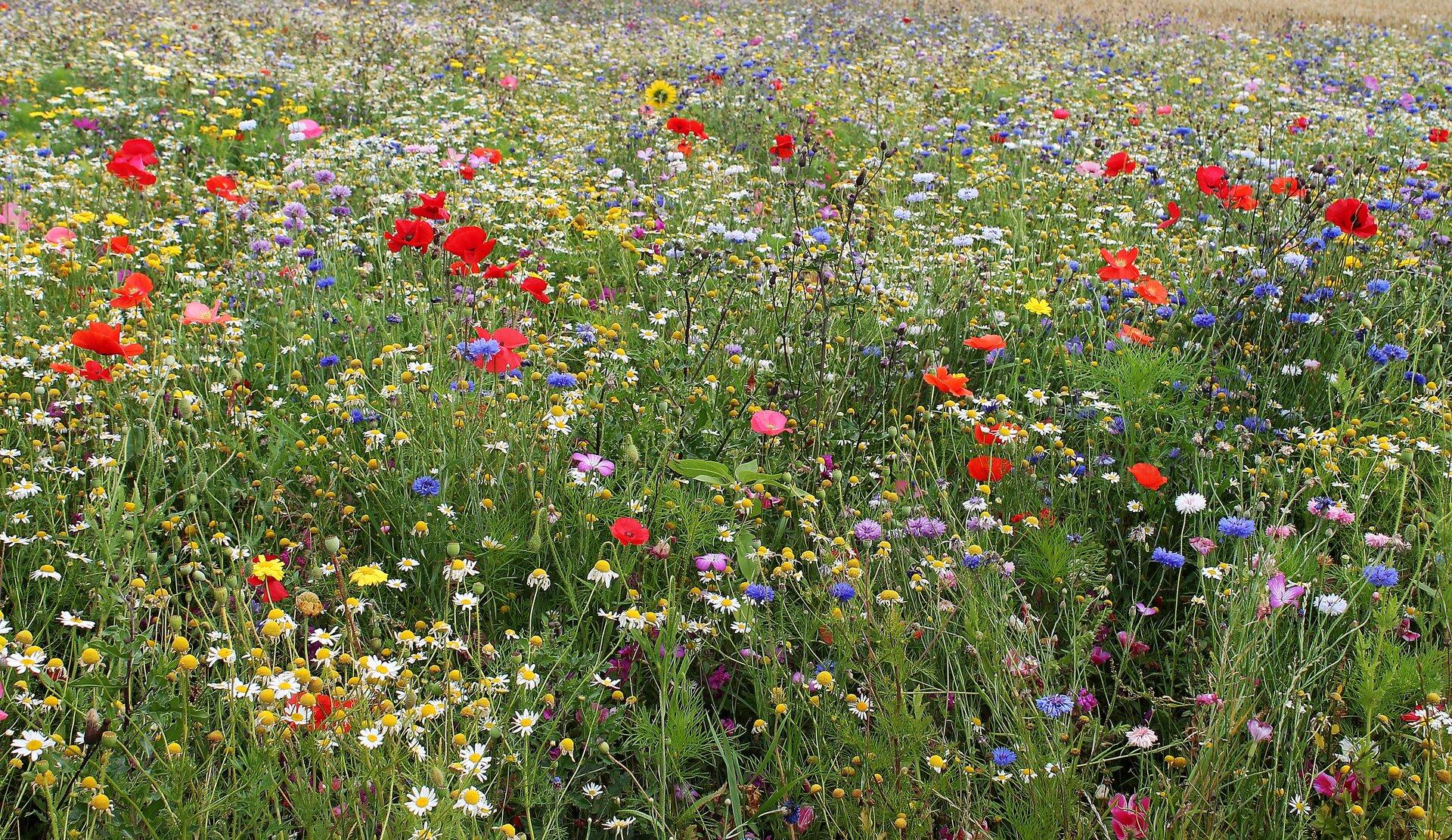 Fotografia łąki. Widać zieloną trawę, wśród której znajdują się kwiaty oróżnych kolorach. Wtle kilka drzew ociemnozielonych koronach.