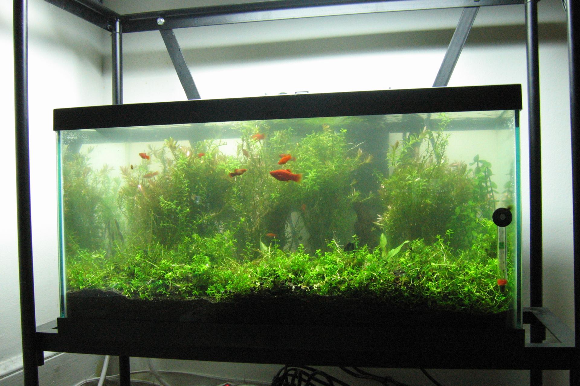 Fotografia przedstawia duże akwarium. Na dnie widoczne jest ciemne podłoże, zktórego wyrasta bujna roślinność. Wakwarium pływa kilka niedużych, pomarańczowych rybek.