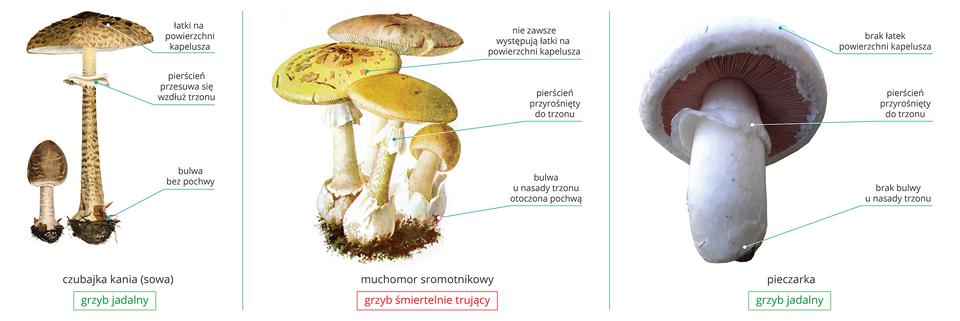 Ilustracja przedstawia kilka grzybów, jadalnych itrujących, które mogą być mylone. Wcentrum znajdują się cztery owocniki grzyba ożółtym kapeluszu ibiaławym trzonie zpochwą na dole. To śmiertelnie trujący muchomor sromotnikowy. Po lewej znajduje się podobna do niego ale jadalna czubajka kania. Ma kapelusz zciemnymi łatkami iciemniejszy trzon bez pochwy na dole. Po prawej znajduje się fotografia jadalnej pieczarki. Pieczarka jest biała, nie ma łatek na kapeluszu ani pochwy na trzonie.