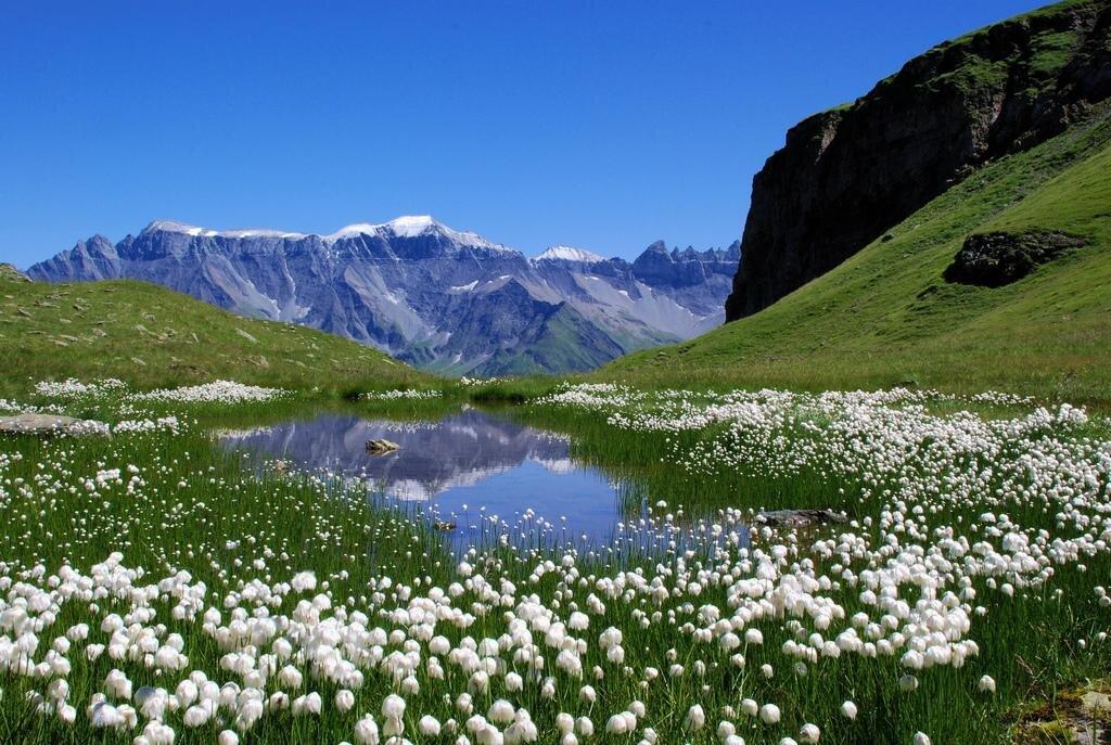 Ilustracja przedstawia  łąkę górską tworzącą piętro alpejskie. Wtle widoczne są góry zośnieżonymi szczytami.