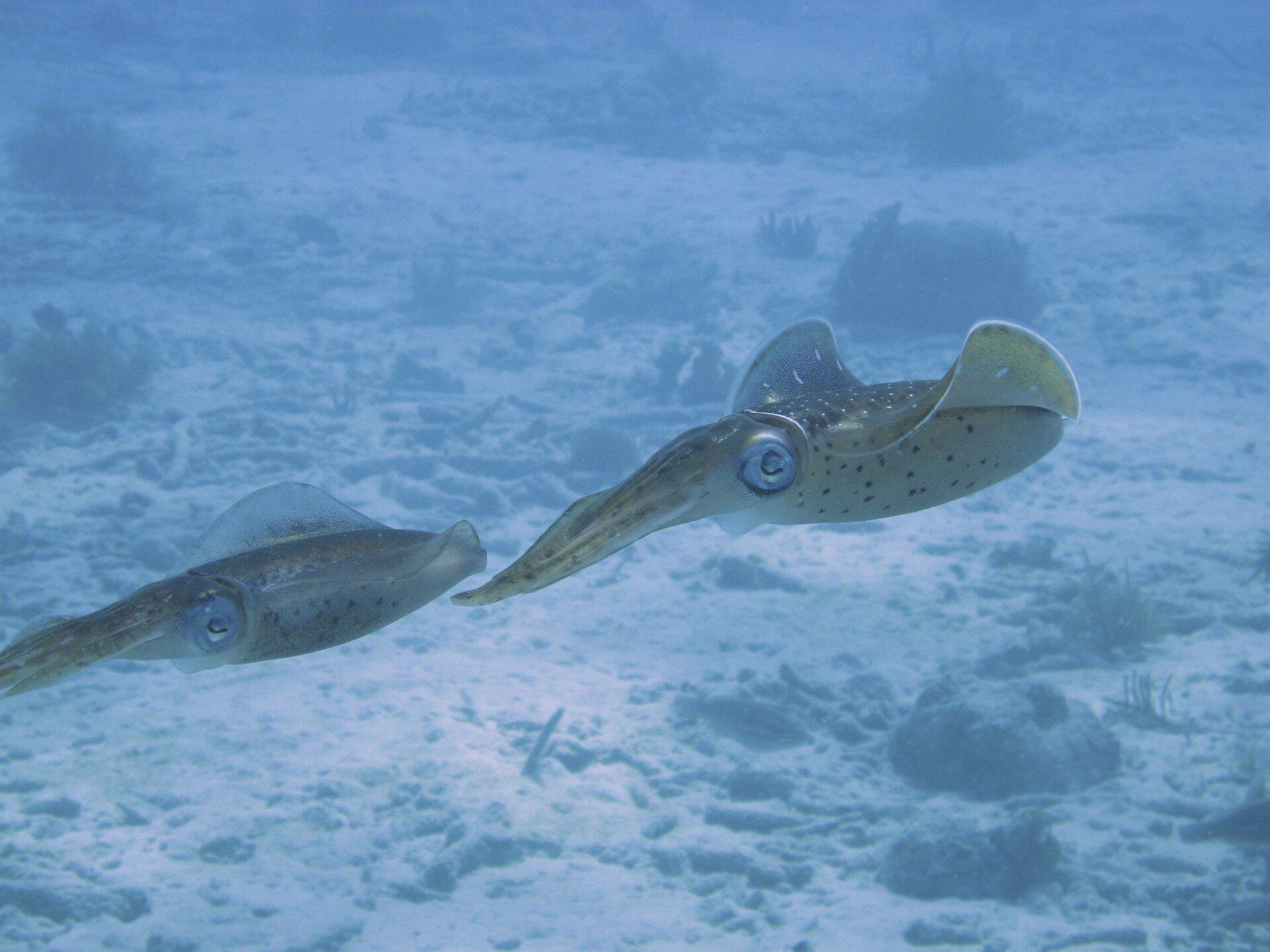 Fotografia prezentuje dwa płynące jeden za drugim głowonogi. Głowonogi mają kształt wrzecionowaty. Zprzodu ciała posiadają wieniec długich ramion zaopatrzonych wprzyssawki. Po bokach głowy olbrzymie oczy. Długi tułów zaopatrzony jest po bokach wpłetwy. Wierzch ciała jest ciemny zjasnymi plamkami, aspód jasny zciemnymi plamkami.