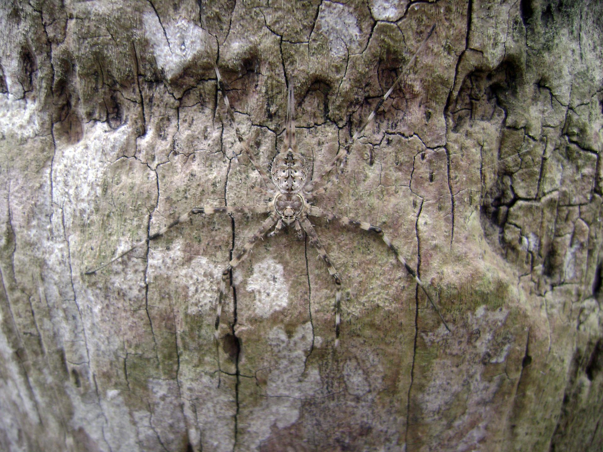 Fotografia przedstawia pająka na korze drzewa. Prawia go nie widać.