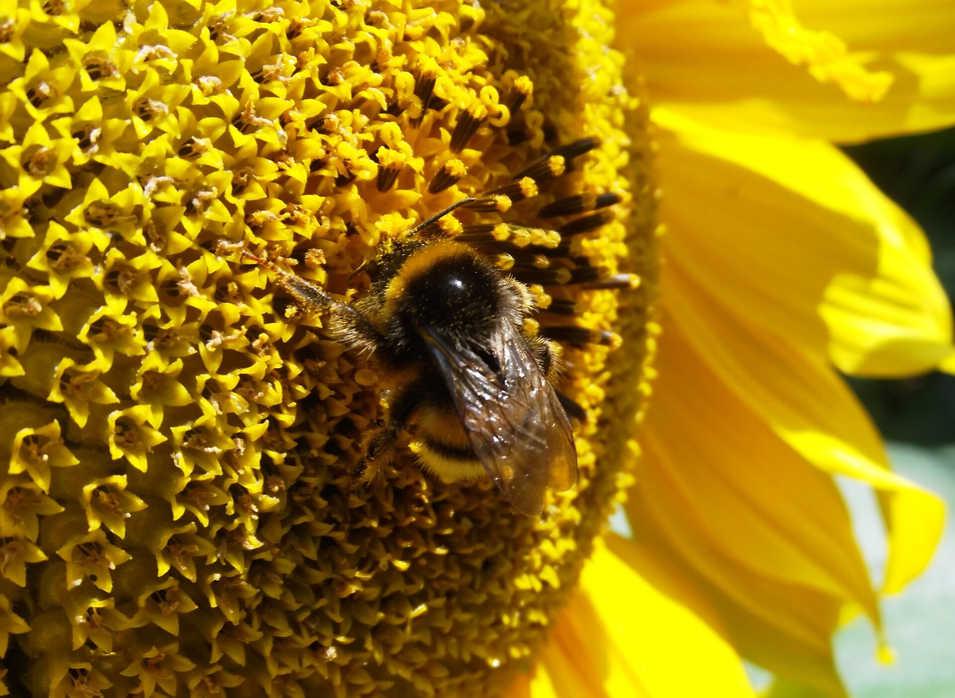 Pszczoła Pszczoła Źródło: Wikimedia Commons/Pelikan13, licencja: CC BY-SA 4.0.