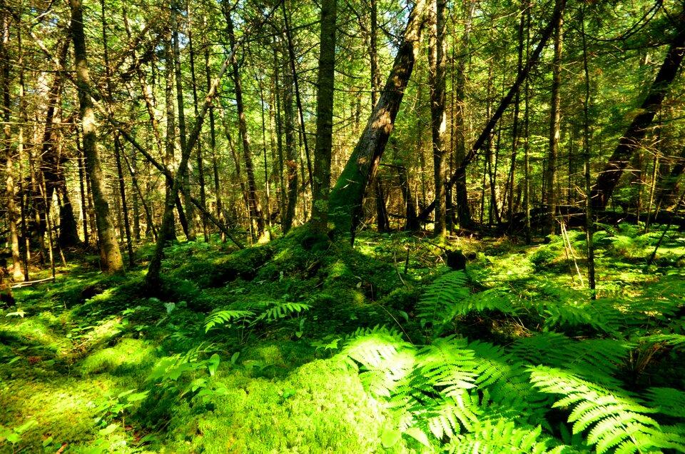 Fotografia przedstawia wnętrze prześwietlonego słońcem lasu. Na pierwszym planie runo leśne.