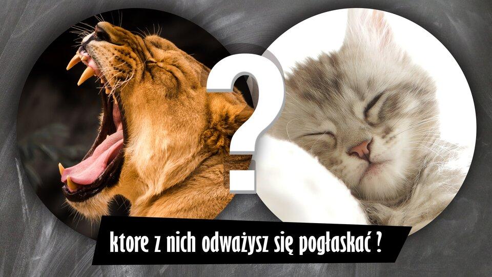 """Ilustracja przedstawia dwa zdjęcia kotów umieszczone wdwóch okręgach. Kot po lewej to warczący dorosły tygrys zostrymi kłami. Ma brązową sierść. Wygląda bardzo groźnie. Ten po prawej to mały, bezbronny kotek zpuszystą szarą sierścią, śpiący na białej poduszce. Pomiędzy zdjęciami znajduje się znak zapytania, aponiżej napis: """"które znich odważysz się pogłaskać?""""."""