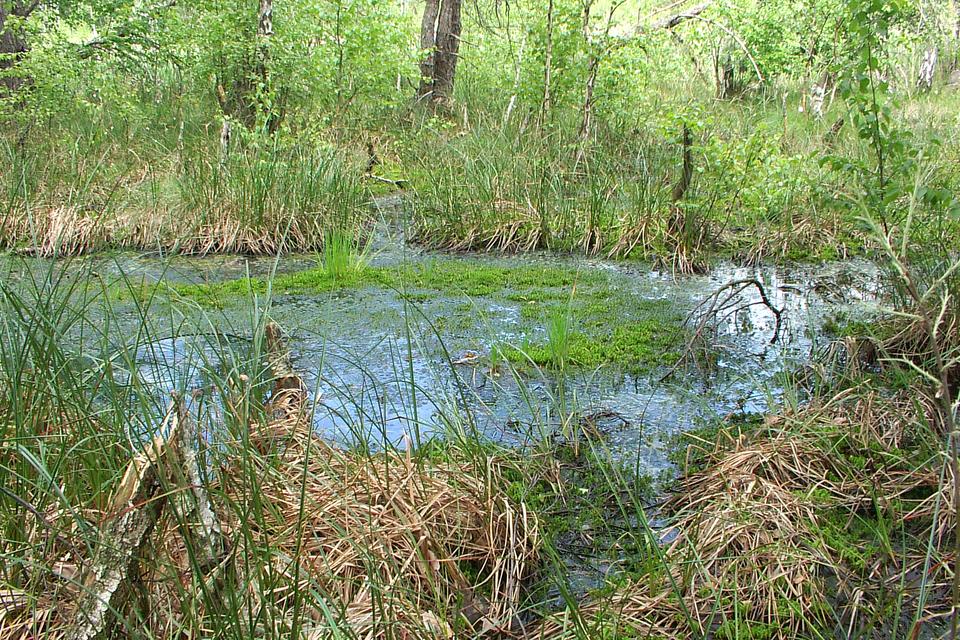 Fotografia prezentuje torfowisko. Widoczny podmokły teren porośnięty trawami.