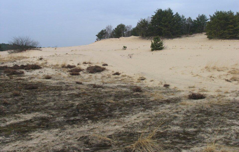 Na zdjęciu piaszczysty, pofaldowany teren, pojedyncze kępy trwa. Wtle drzewa.
