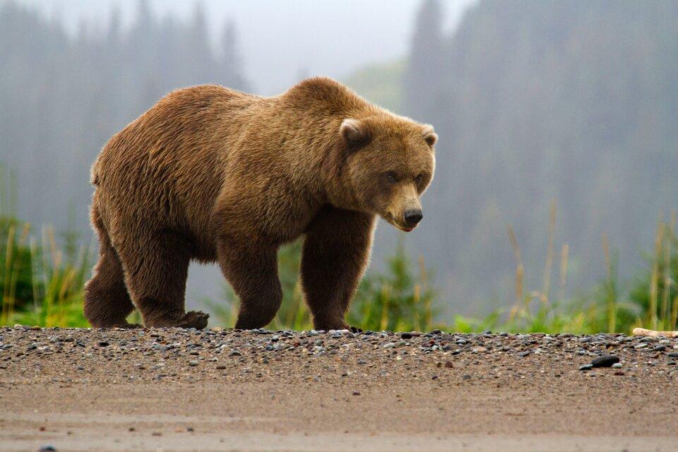 Fotografia przedstawia niedźwiedzia brunatnego, idącego skrajem drogi wgórskim krajobrazie.