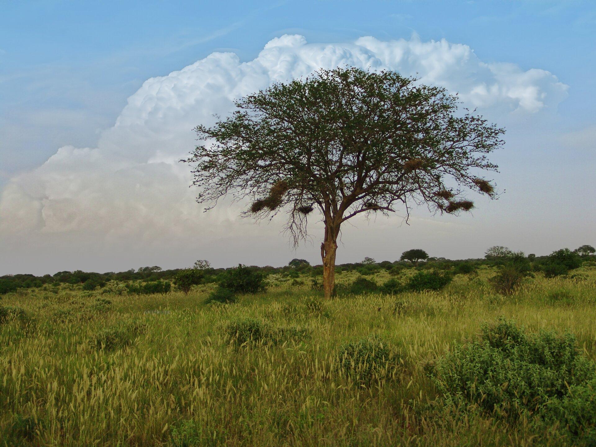 Fotografia przedstawia krajobraz sawanny wporze deszczowej. Trawy rosną bujnie, krzewy idrzewa mają ciemnozielone liście. Zgałęzi akacji wcentrum zwisają gniazda ptaków wkształcie worków.