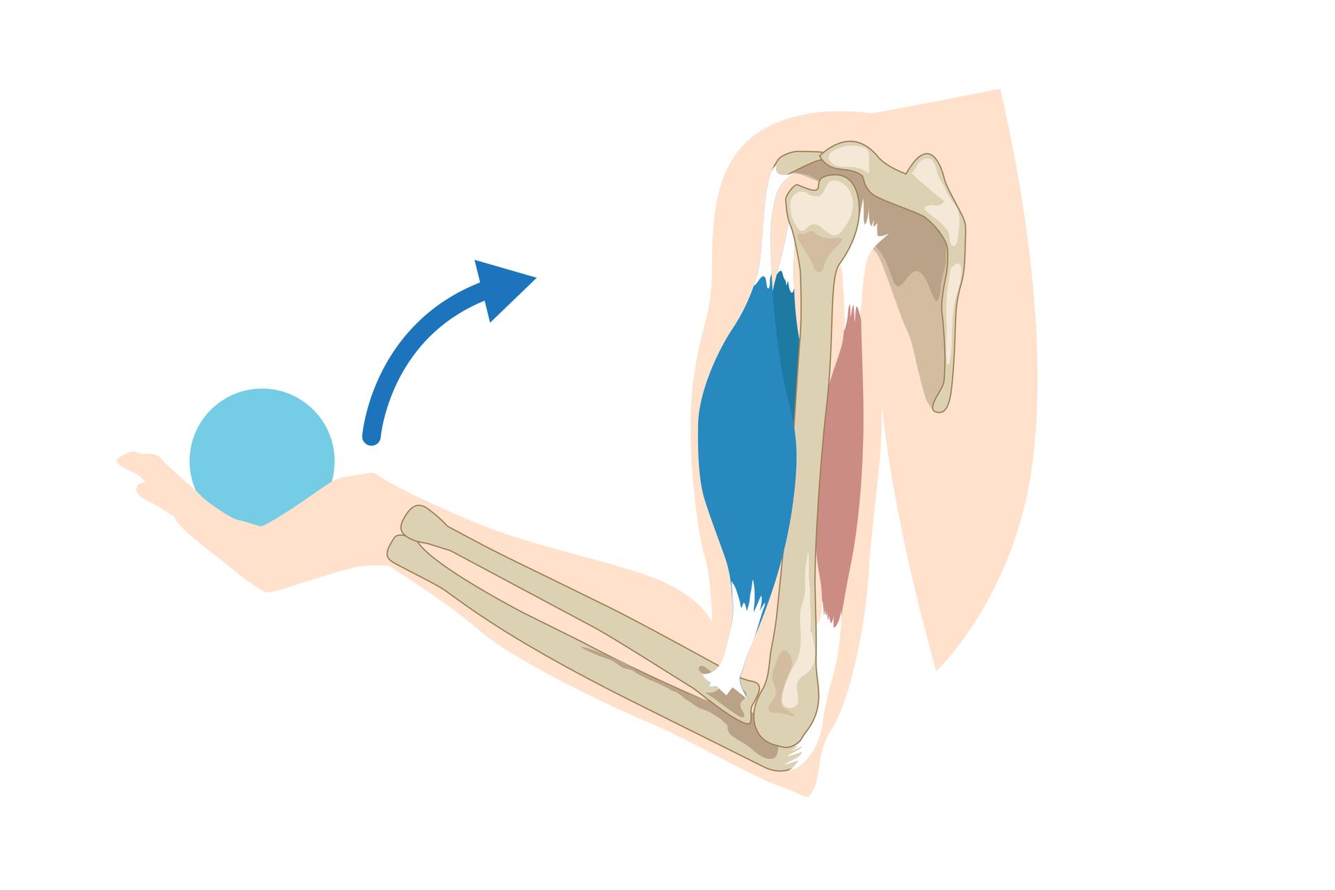 Schemat przedstawiający kończynę górną: widoczna kość ramieniowa iprzylegające do niej mięśnie: dwugłowy itrójgłowy, kości przedramienia, kości dłoni, która unosi ciężar iprzyciąga do siebie.