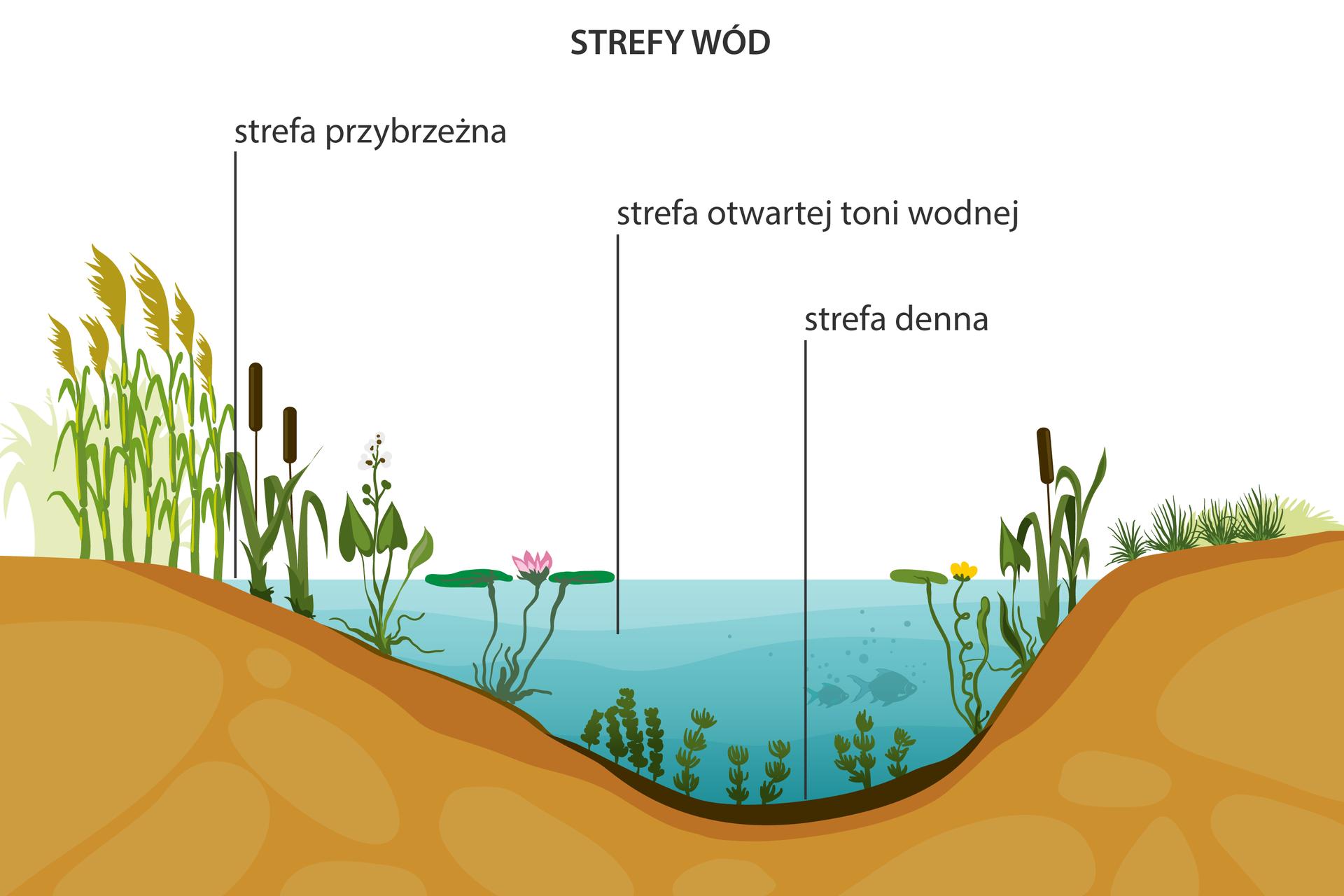 Ilustracja prezentuje przekrój przez jezioro oraz jego brzegi. Zagłębienie jeziora wypełnione jest wodą. Na dnie znajdują się całkowicie zanurzone rośliny. Jest to strefa przydenna. Nad nią znajduje się strefa otwartej toni wodnej, wktórej pływają ryby. Przy brzegu występuje strefa przybrzeżna zrosnącą tam pałką wodną, trzcinami, strzałką wodną igrzybieniami.