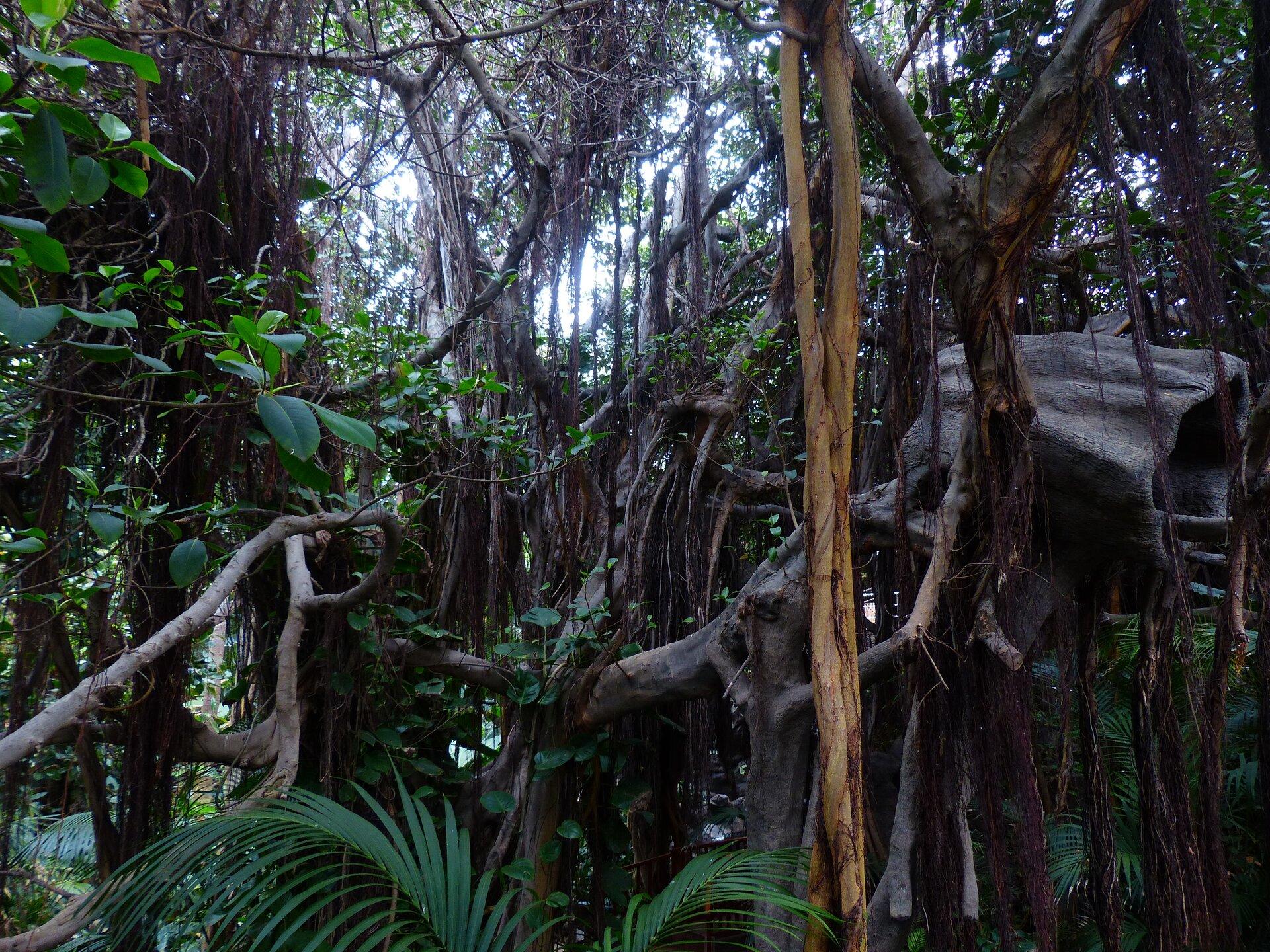 Fotografia trzecia prezentuje średnie piętro lasu równikowego, widoczne liany zwisające zdrzew. Las jest gęsto porośnięty roślinami ipanuje wnim półmrok.