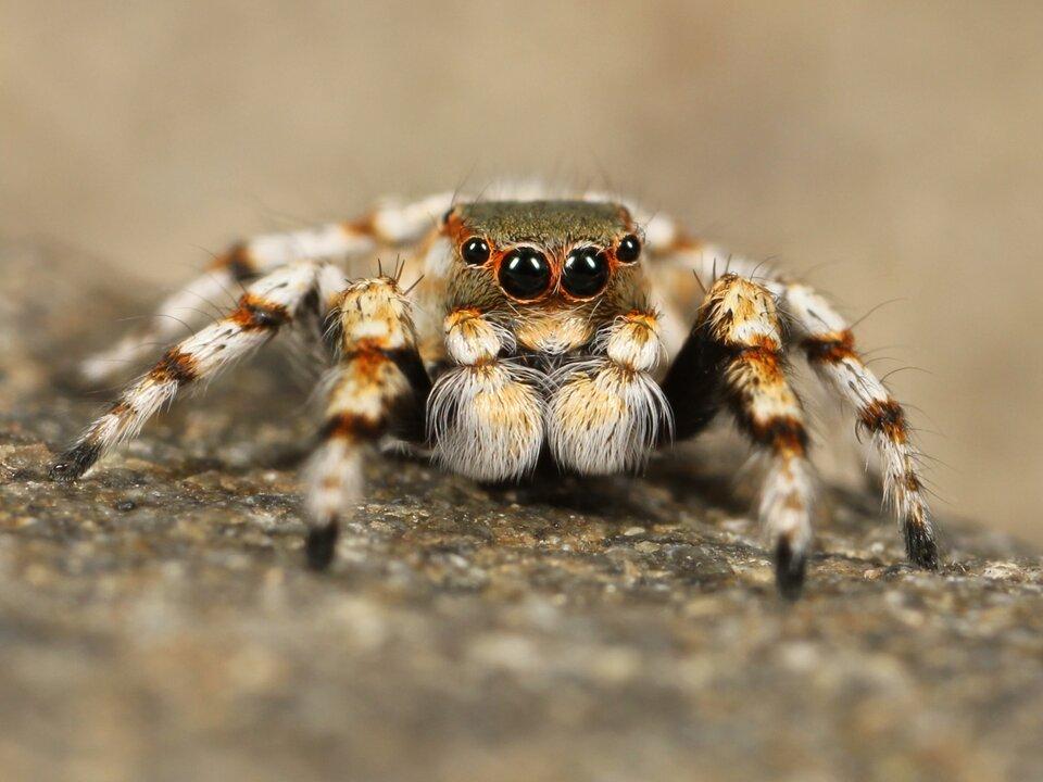 Galeria składa się zfotografii przedstawicieli pajęczaków. Fotografia przedstawia wdużym zbliżeniu zprzodu pająka skakuna arlekinowego. Odnóża mocno biało owłosione, przy stawach rudawe. Dwa duże idwa mniejsze czarne oczka. Ten pająk nie tka sieci, tylko poluje skacząc na ofiary.