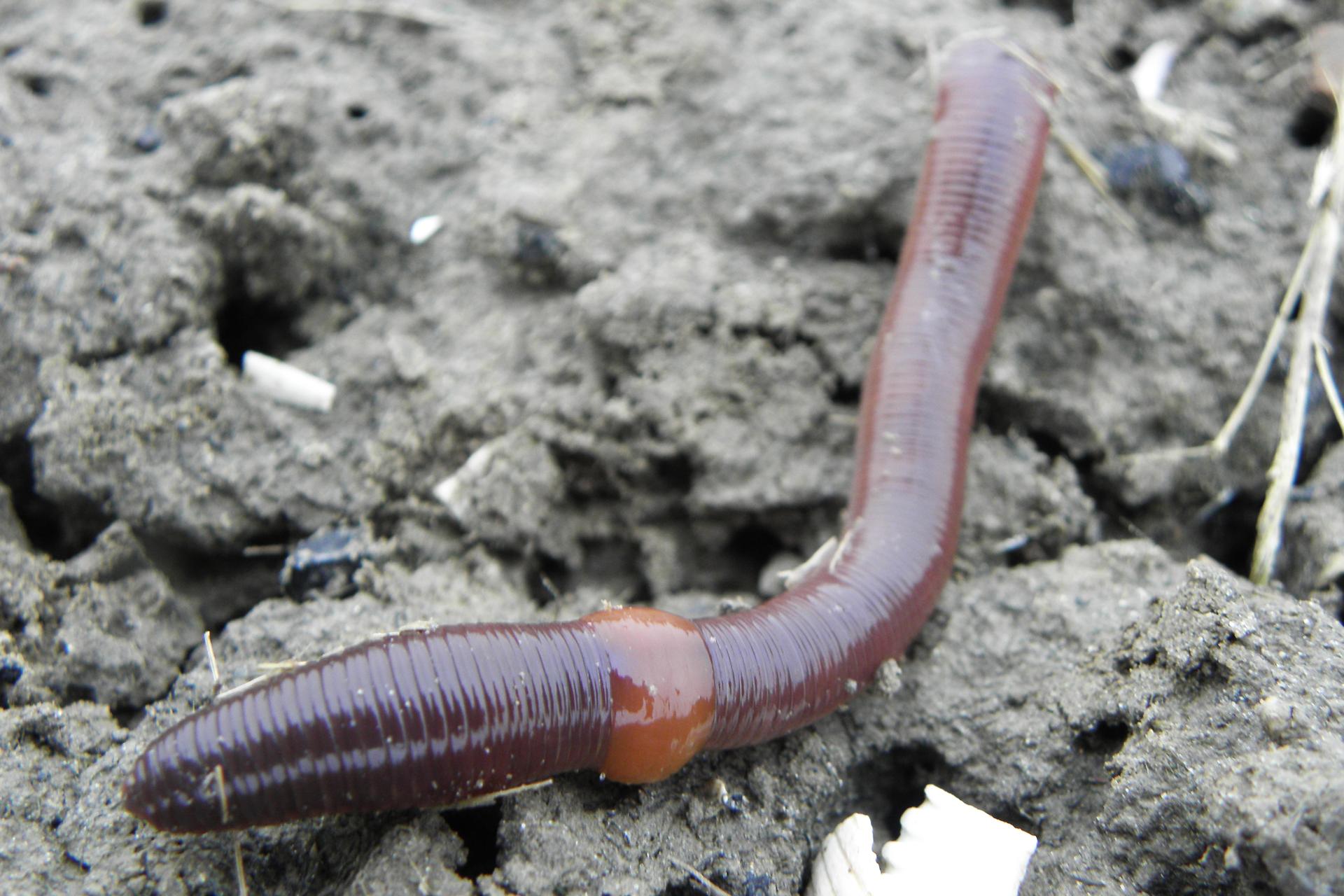 Zdjęcie dżdżownicy. Ciało zwierzęcia jest czerwonobrązowe, długie iwąskie, podzielone na liczne pierścienie