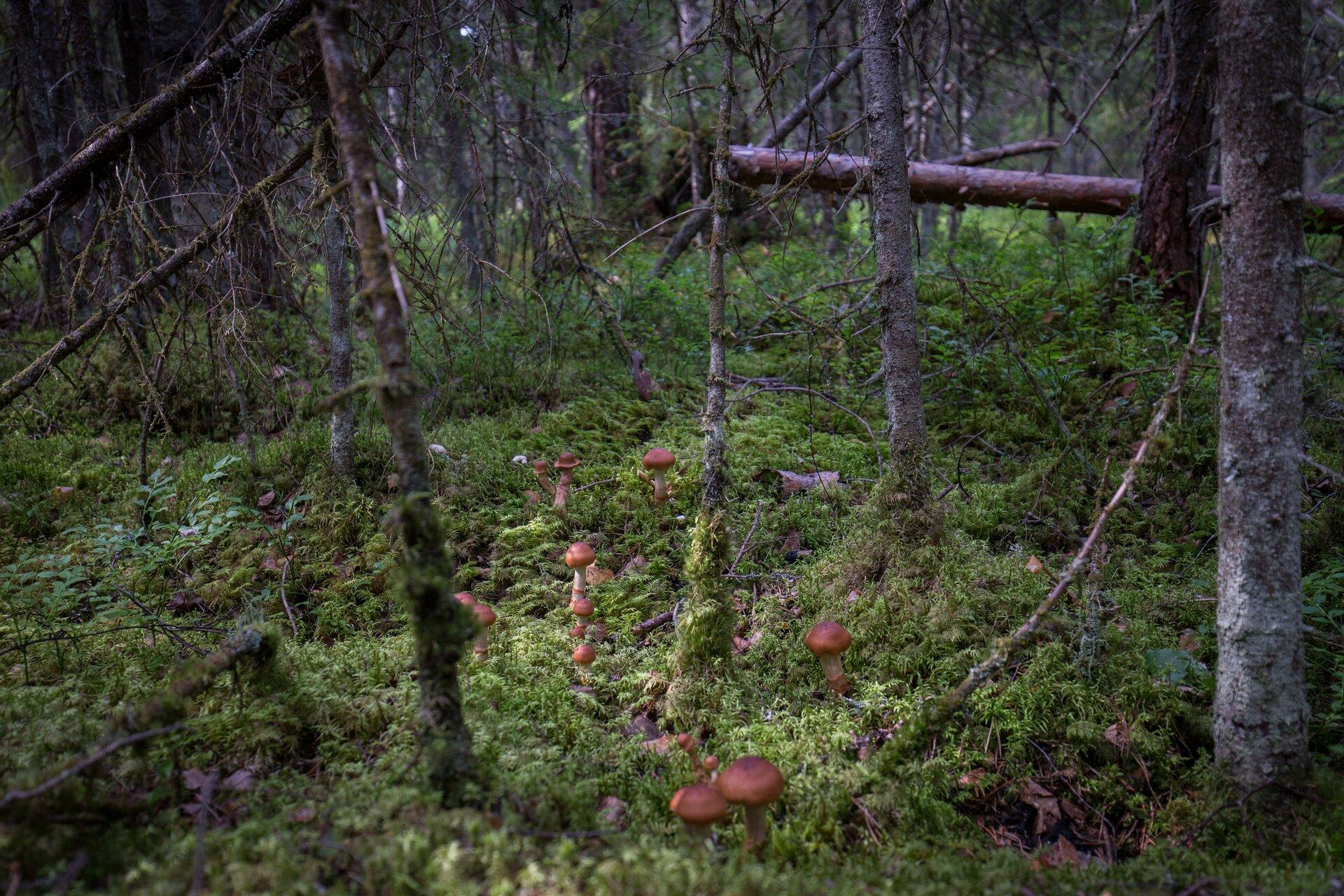 Fotografia prezentuje runo leśne składające się zmchów, wktórym widoczne są brązowe kapelusze grzybów.