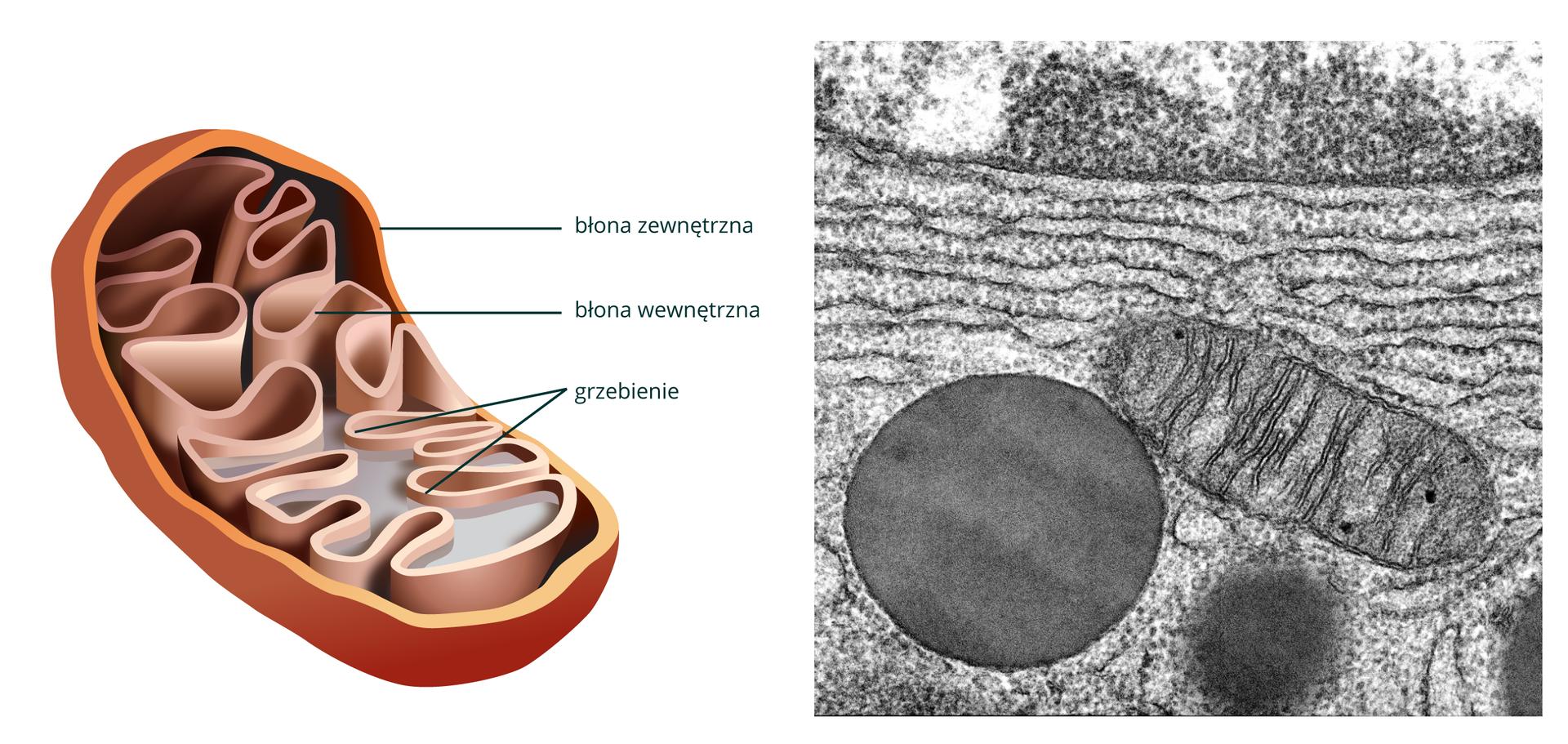 Ilustracja przedstawia przestrzenny wizerunek wnętrza mitochondrium: pałeczka, której ściany tworzą 2 błony - zewnętrzna gładka, wewnętrzna tworzy wpuklenia zwane grzebieniami. Obok obraz mitochondruyn zmikroskopu skaningowego.