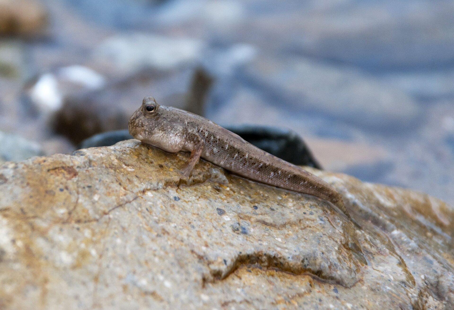 Fotografia przedstawia niewielką, smukłą rybkę, opartą płetwami ukosem na mokrym, żółto- szarym kamieniu. Poskoczek mułowy ma zprawej dużą głowę iwypukłe oczy. Ciało szarobeżowe, wbiałe iczarne plamki.