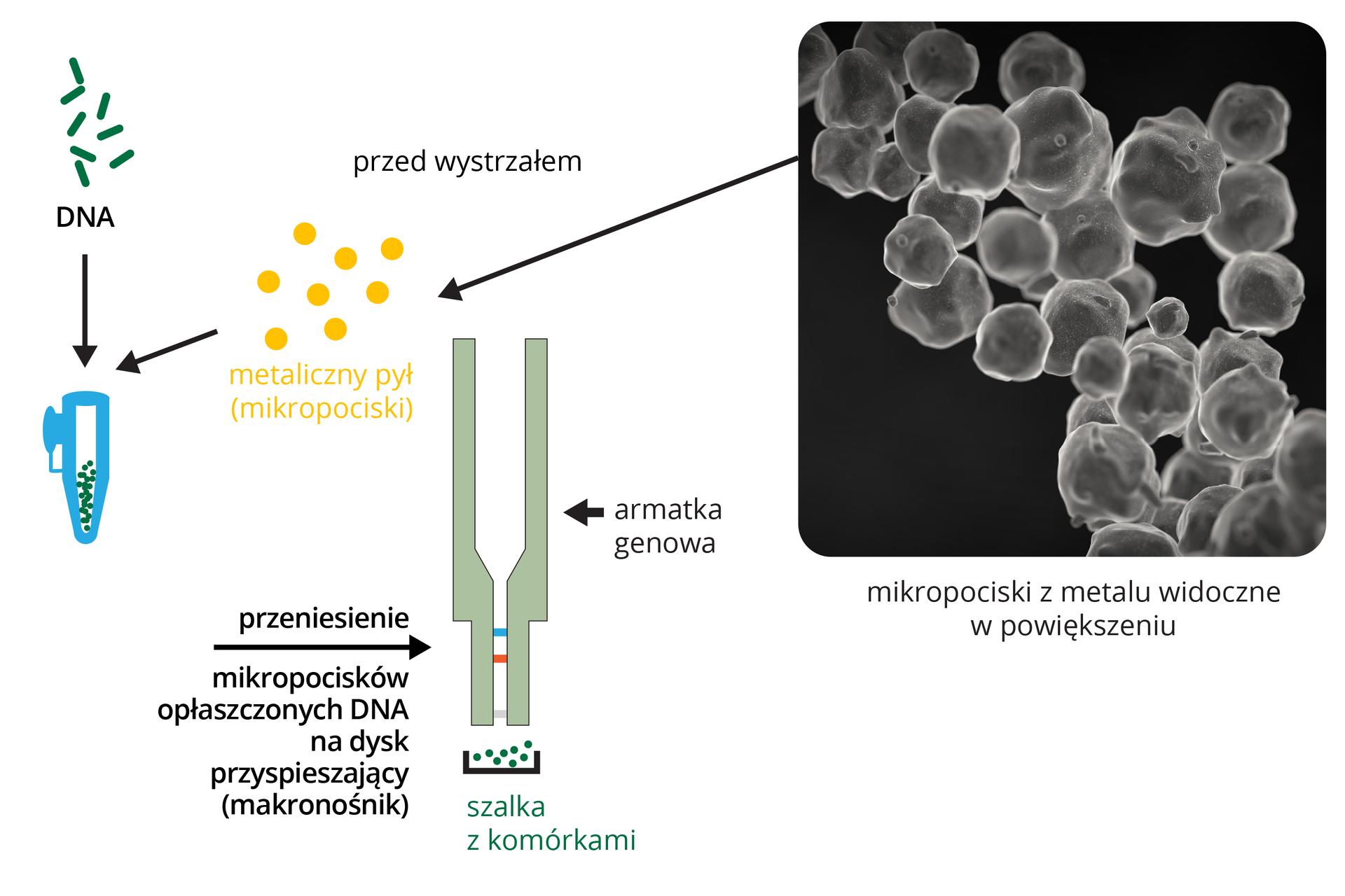 Ilustracja przestawia schematyczne rysunki ifotografię zmikroskopu elektronowego kulek pyłu metalowego. Zlewej zielone DNA jest umieszczane wmałej probówce. Dodaje się do niej także żółte kulki metalowego pyłu. DNA przylepia się do kulek metalu. Za pomocą tak zwanej armatki genowej, ukazanej jako szary podłużny kształt wbija się kulki zDNA do komórek.