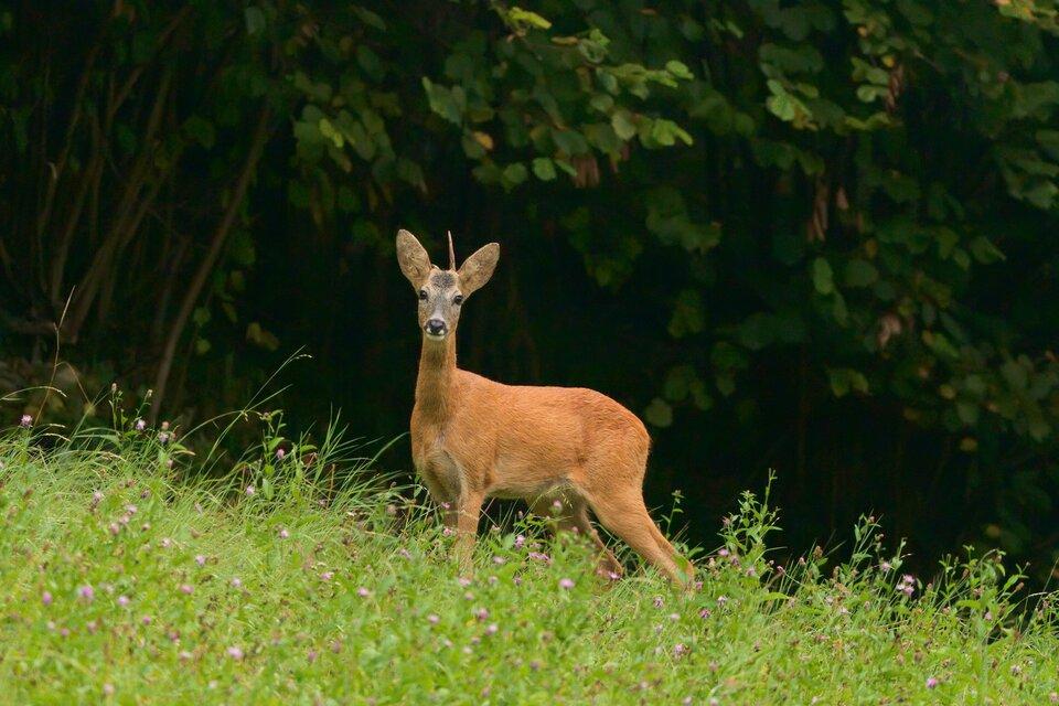 Fotografia przedstawia brązowego koziołka sarny, stojącego na skraju lasu. Sarna jest roślinożerna, zjada trawę, zioła ileśne owoce.