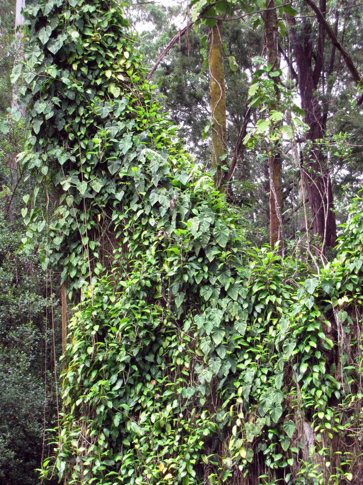 Fotografia przedstawia podstawę szarego pnia drzewa. Jest gęsto obrośnięty pędami filodendrona. Filodendron ma owalne liście. Jego pęd jest mocno rozgałęziony iściśle oplata pień drzewa.