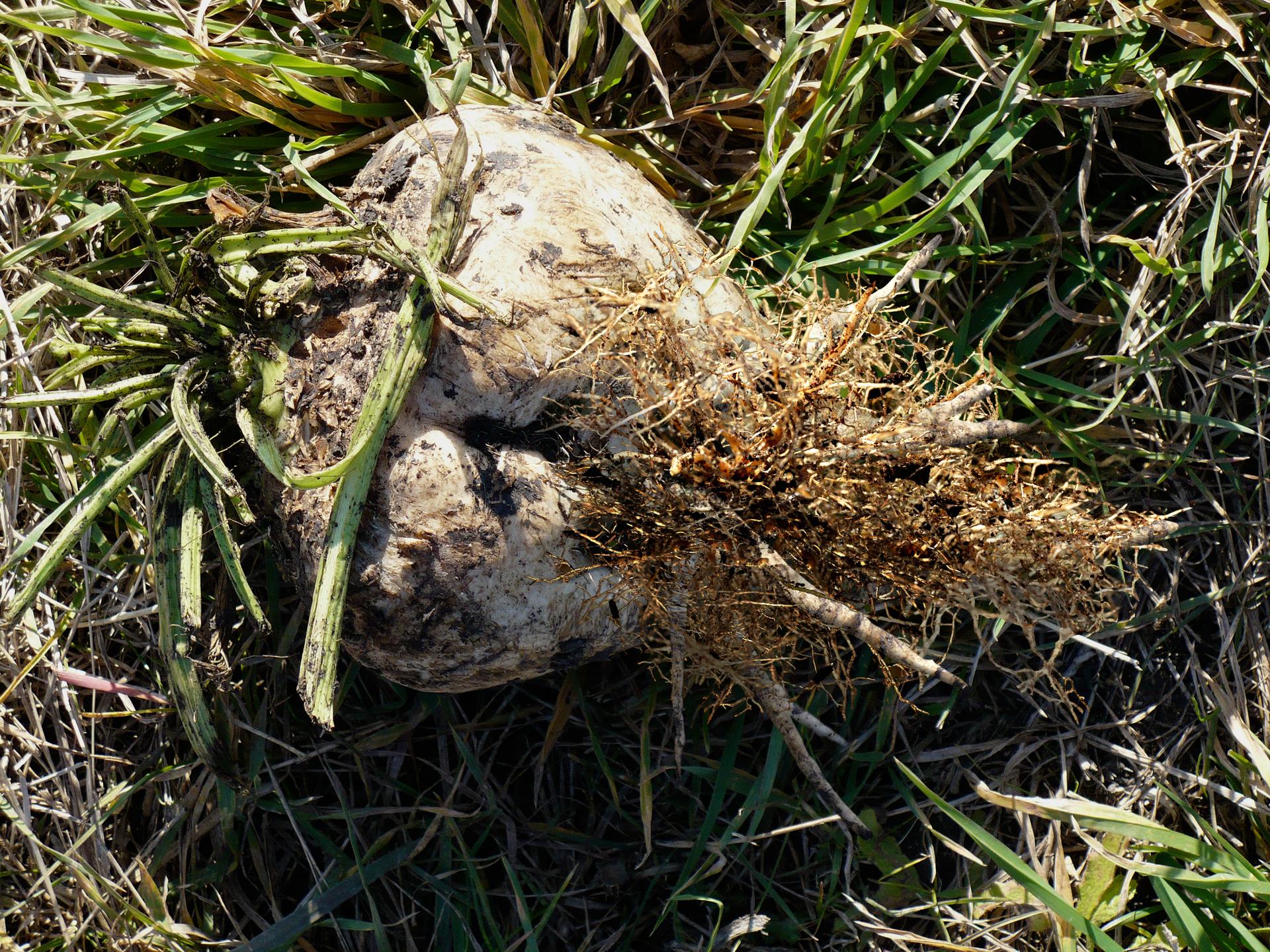 Fotografia przedstawia buraka cukrowego, leżącego na trawie. Ma sercowaty kształt iszaro – brunatną barwę. Udołu buraka wyrasta gęsta kępa korzeni przybyszowych. To oznaka, że zaatakował go mątwik buraczany.