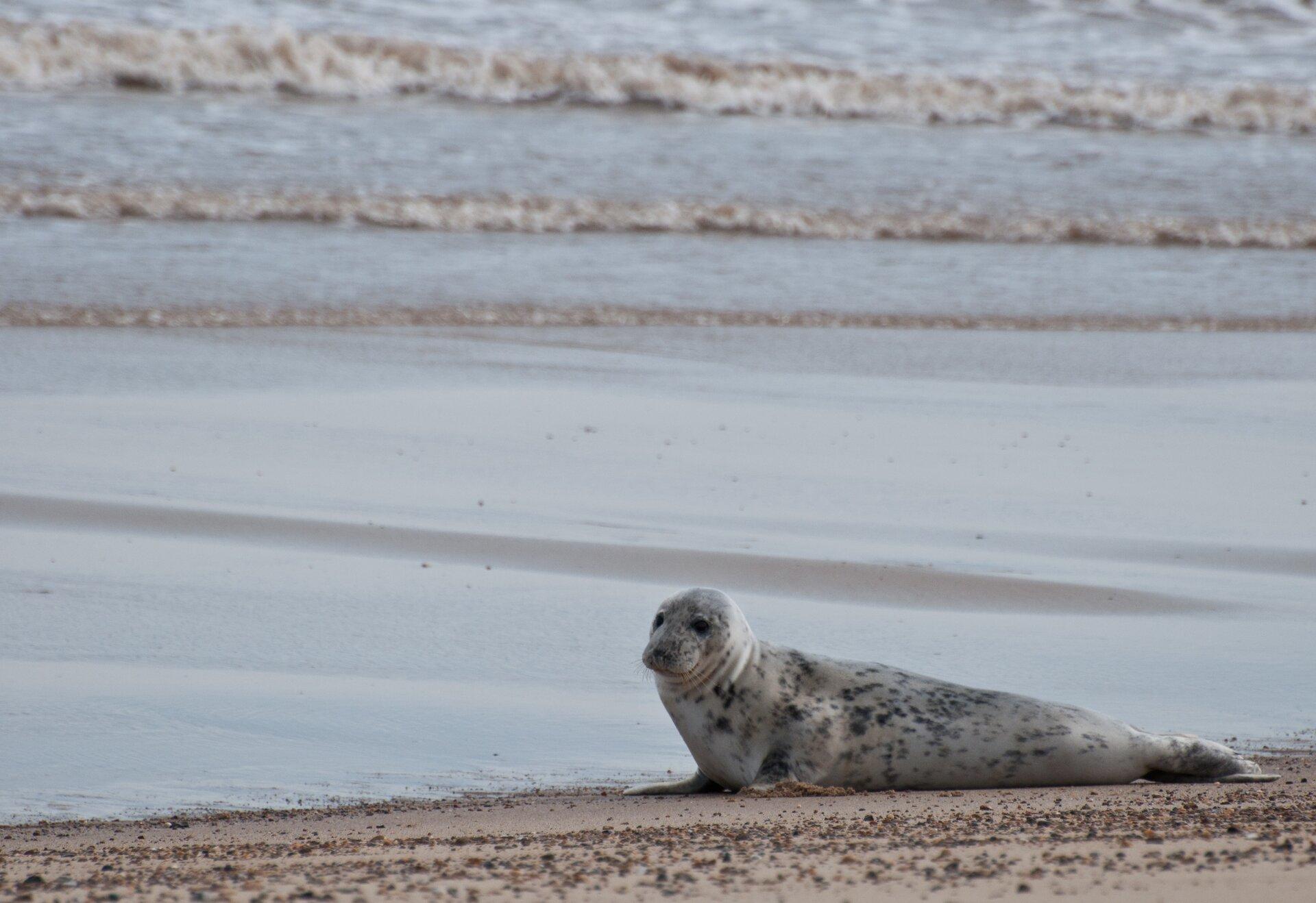 Fotografia prezentuje fokę leżącą na plaży przy morzu. Foka ma ubarwienie jasnoszare zczarnymi niewielkimi plamkami.