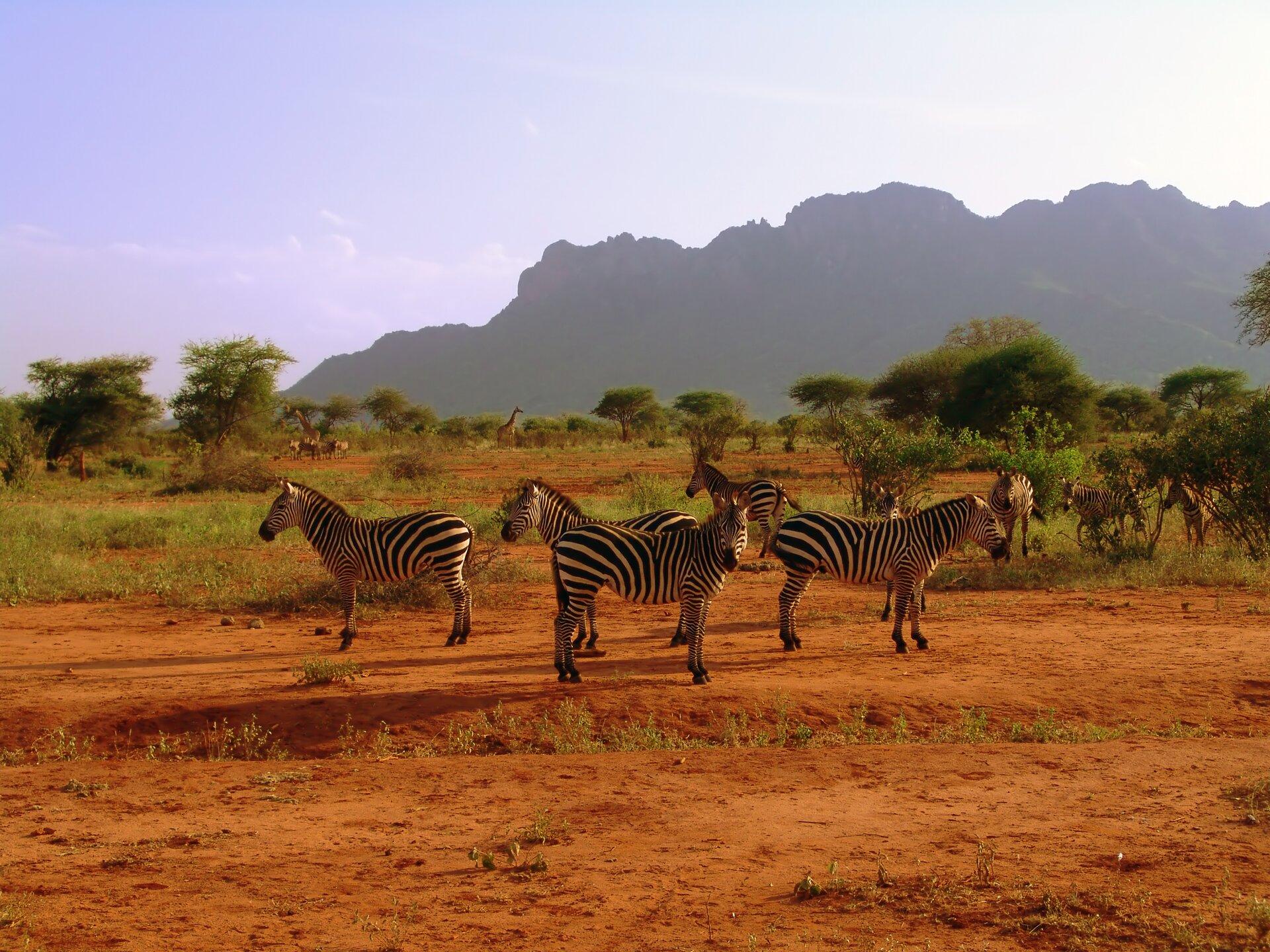 Fotografia przedstawia stado zebr. Zwierzęta mają sylwetkę podobną do konia. Zebry mają pionowe pasy białe iczarne. Grzywa, koniec pyska oraz kopyta są czarne. grzywy, końcem pyska ikopytami. Stoją na czerwonej ziemi, aza nimi rośnie trawa izarośla. Wtle widać góry.