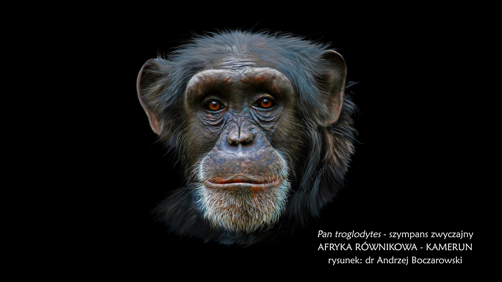 Fotografia prezentuje głowę szympansa zwyczajnego należącego do rodziny człowiekowatych. Twarz szympansa dookoła oczu ina policzkach jest czarna, wysunięta do przodu szczęka iżuchwa są szare iokryte siwymi włosami. Nos mały. Nad oczodołami duże wały nadoczodołowe. Po bokach głowy widoczne duże czarne małżowiny uszne. Głowa iciało okryte czarnymi włosami.