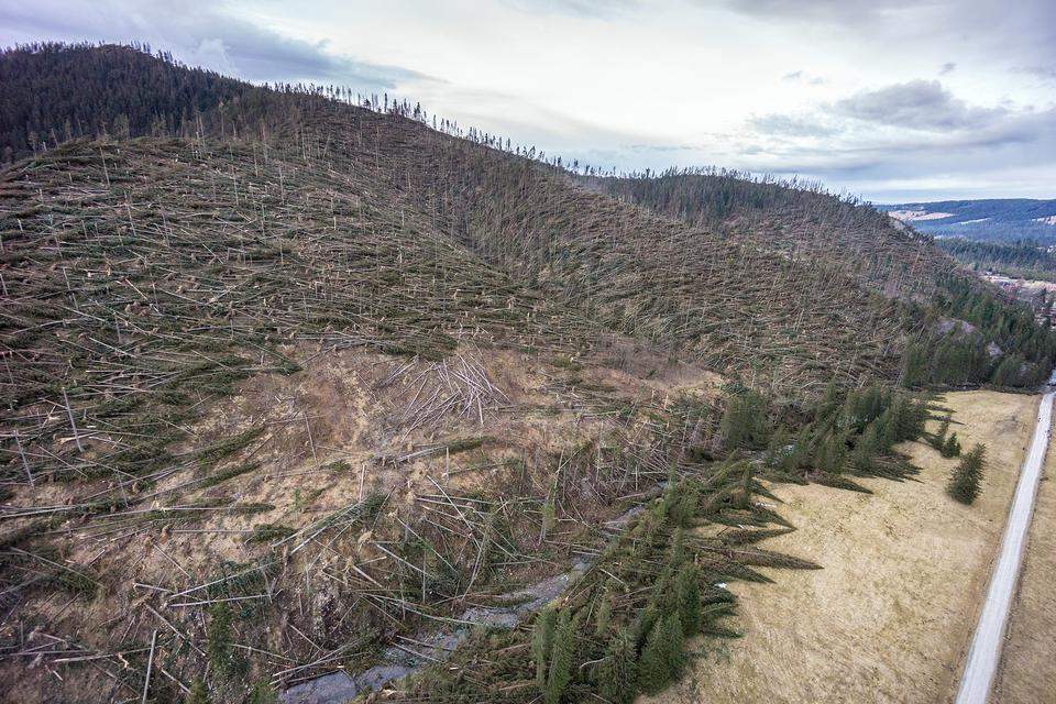 Zdjęcie przedstawiające drzewa iglaste porastające stok góry połamane przez wiatr upodstawy pni.