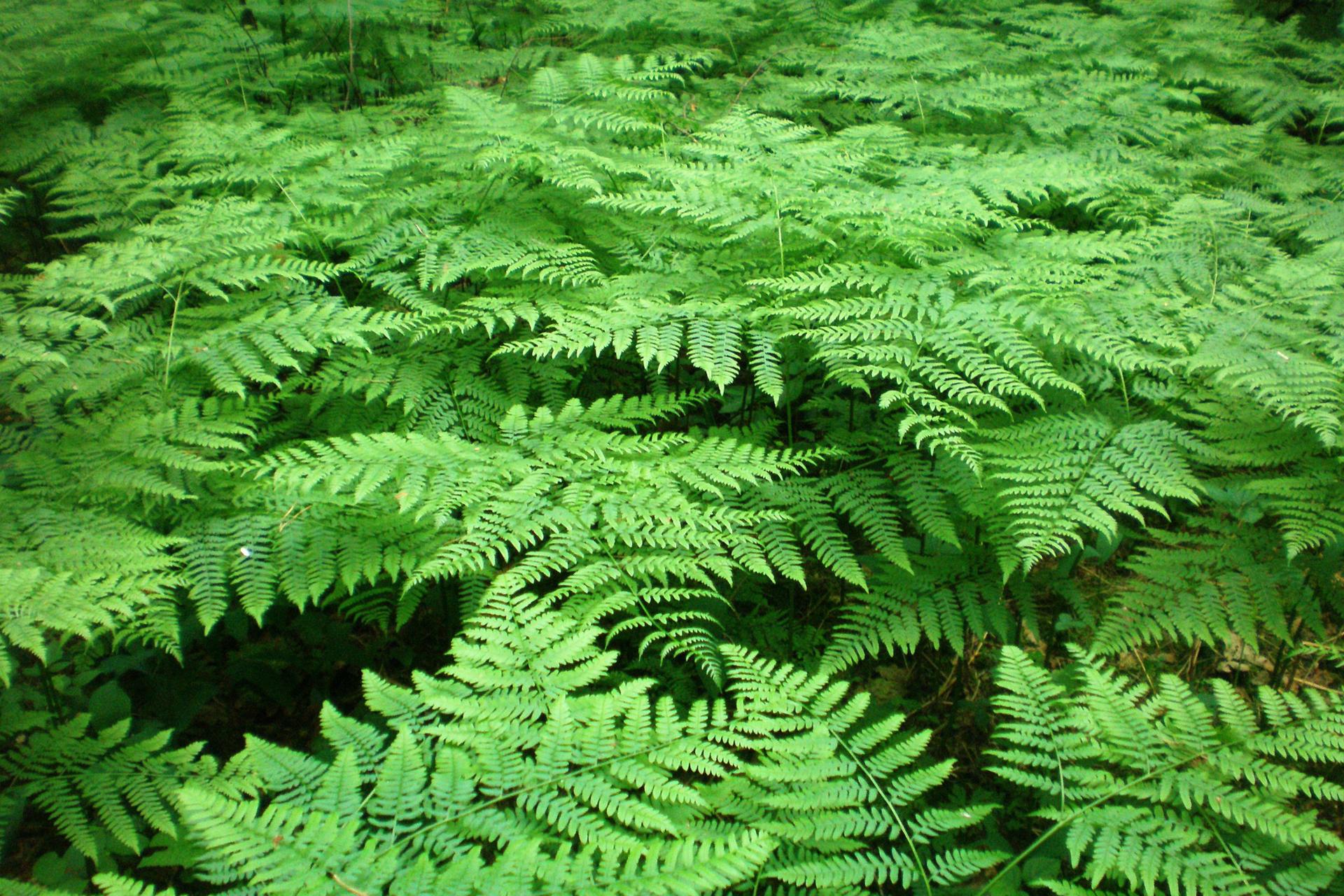 Zdjęcie orlicy pospolitej. Widać wachlarzowate liście tworzące zwartą powierzchnię, przez którą nie widać powierzchni ziemi.