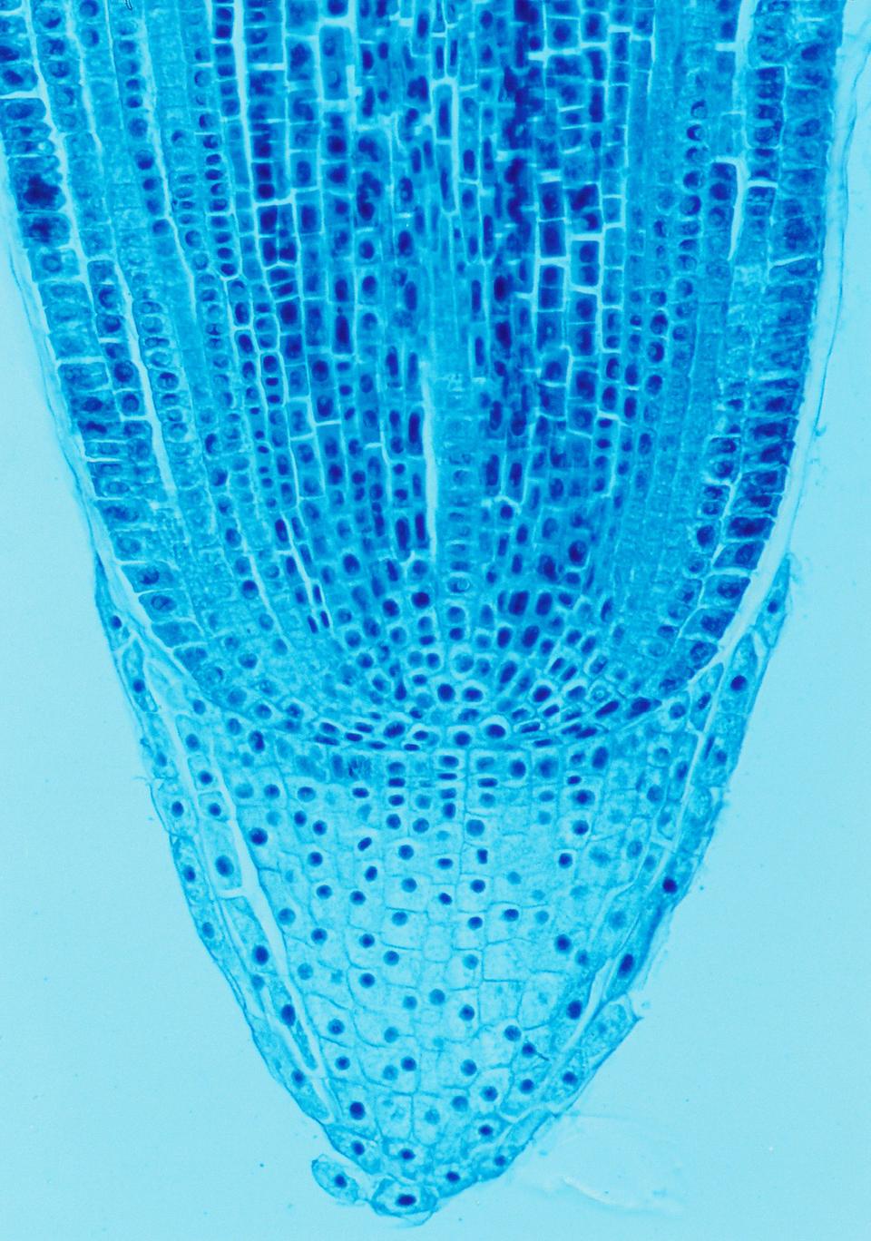 Mikrofotografia pokazuje tkanki szczytu korzenia wprzekroju podłużnym. Komórki cienkościenne, odużych jądrach.