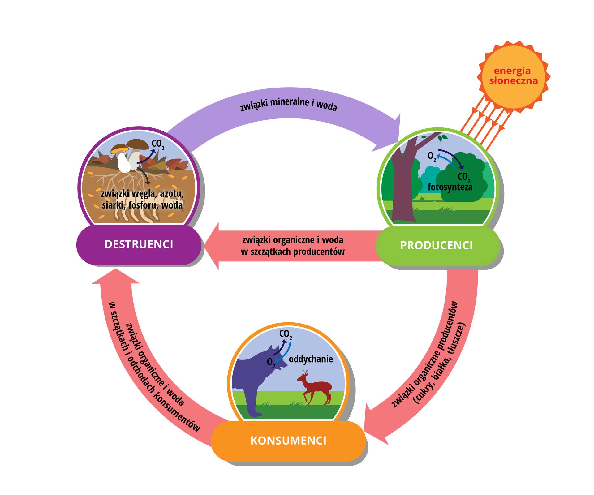 Schemat prezdstawia słońce, producentów, konsumentów idestruentów oraz przepływającą pomiedzy mimi materię.
