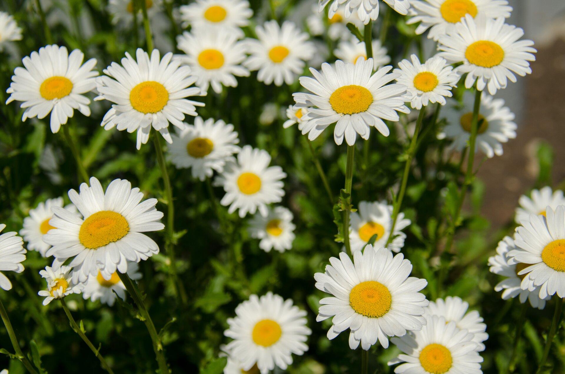 Zdjęcia przedstawia białe kwiatostany rumianku.
