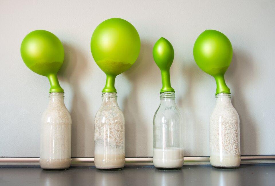 Fotografia przedstawia 4 butelki wypełnione hodowlami drożdzy. Na szylkach butelek przymocowane sa zielone balony. Balony są wróznym stopniu wypełnione gazem.