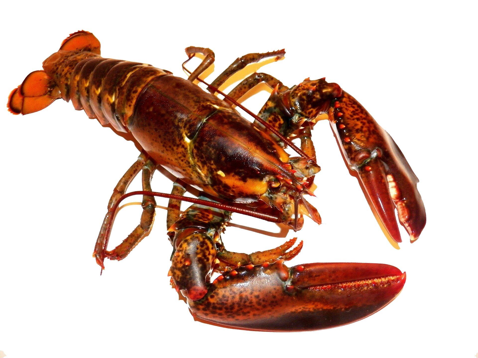 Wgalerii znajdują się fotografie przedstawicieli skorupiaków. Fotografia na białym tle ukosem leżącego homara. Barwa miedziana ciemno nakrapiana. Duże szczypce do kruszenia muszli po prawej wdół. Część głowowa zdługimi czułkami, ustawionymi do tyłu. Odnóża kroczne cienkie, długie. Masywny odwłok iwachlarzyk ogonowy.