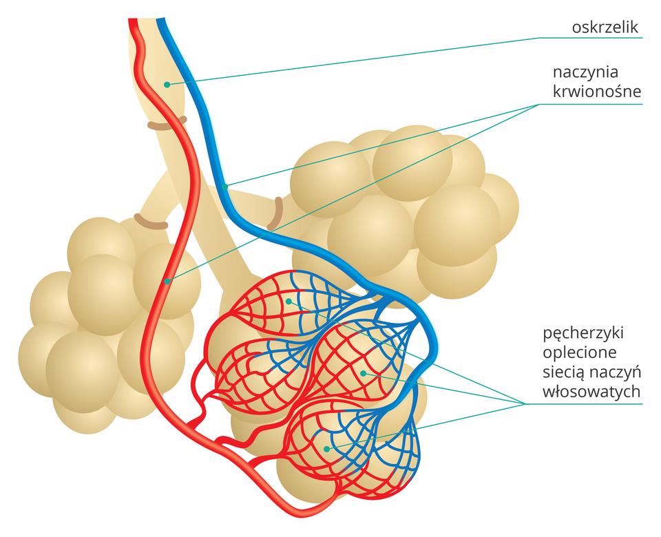 Ilustracja przedstawia 3 beżowe groniaste pęcherzyki na wspólnej rurce, podpisanej jako oskrzelik. Na jednym zpęcherzyków leżą siateczki naczyń włosowatych. Od nich wgórę niebieskie iczerwone naczynia krwionośne.