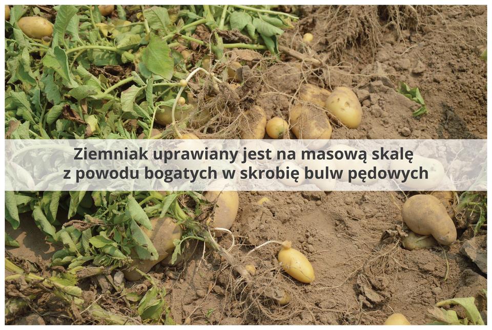 Fotografia przedstawia grzędy zwykopanymi ziemniakami. Po prawej rośliny zliśćmi iikorzeniami, po lewej ii wyżej żółte bulwy. Przez środek zdjęcia biegnie jaśniejszy pas znapisem: ziemniak uprawiany jest na masową skalę zpowodu bogatych wskrobię bulw pędowych.
